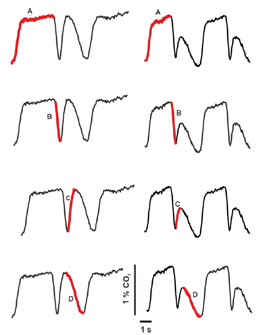 Fig. 9: Pattern of CO<sub>2</sub> concentration curves and their phases during breathing trial with NP (left) and AP (right). A—the sensor measures the entire expiratory phase, B—the gas sensor measures concentration of the gas from the inspiratory limb, i.e. gas of the same composition as was at the end phase of the previous inspiration phase, C—gas sensors record gas coming from Y-piece close to snow and early gas from snow cavity for AP, or directly from snow for NP, D—gas concentrations improve because during this late inspiratory phase the gas from rear places in snow enters the sensors.