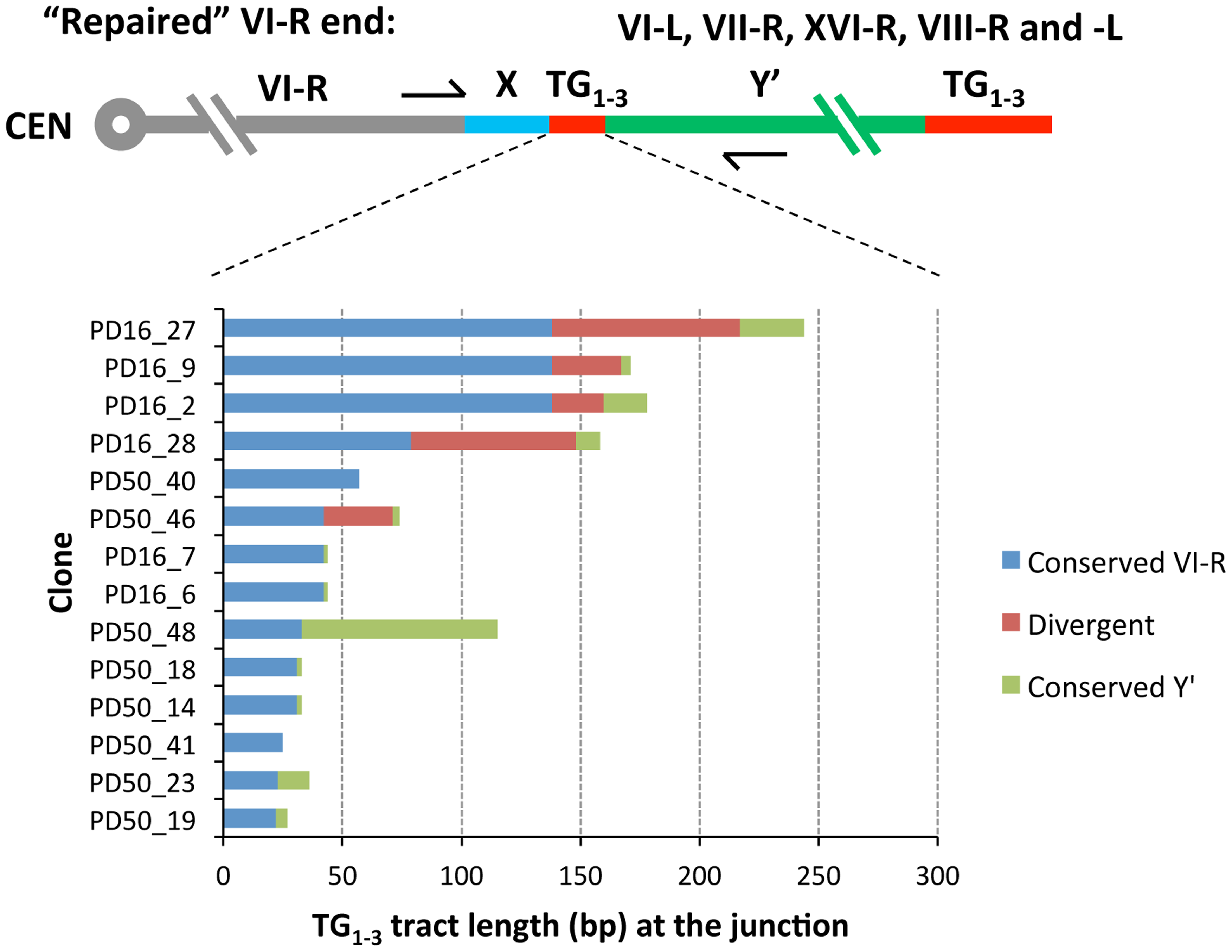 Sequence divergence within internal TG<sub>1–3</sub> repeat tracts of the clones resulted from Y′ element translocation on the native VI-R end.