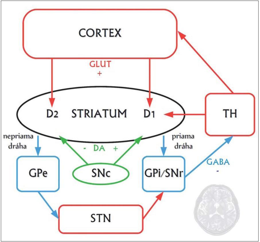 Zjednodušená schéma zapojenia priamej a nepriamej dráhy v rámci organizácie kortiko-striato-thalamo-kortikálnych okruhov.  Striatum je znázornené čierno, pričom jeho hlavnými bunkami sú GABAergické stredné ostnaté neuróny, ktoré sa projikujú smerom k výstupným jadrám bazálnych ganglií (Globus Pallidus internus, GPi, a Substantia Nigra pars reticularis, SNr) ako takzvaná priama a nepriama striato-pallidálna dráha. Neuróny priamej dráhy exprimujú facilitačné D1 dopamínové receptory a okrem kyseliny gama-aminomaslovej obsahujú ako neuromediátor substanciu P, a dynorfín. Neuróny nepriamej dráhy exprimujú inhibičné D2 receptory a okrem kyseliny gama-aminomaslovej používajú ako mediátor enkefalín. Spojenie s výstupnými jadrami je tu nepriame, cez globus pallidus externus (GPe) a nucleus subthalamicus (STN). Červenou sú znázornené excitačné glutamátergické (GLUT) spoje, modrou GABAergické (GABA) spoje a napokon zelenou dopamínergické (DA) spoje. TH je thalamus, SNc mezencefalická dopamínergná substantia nigra pars compacta.