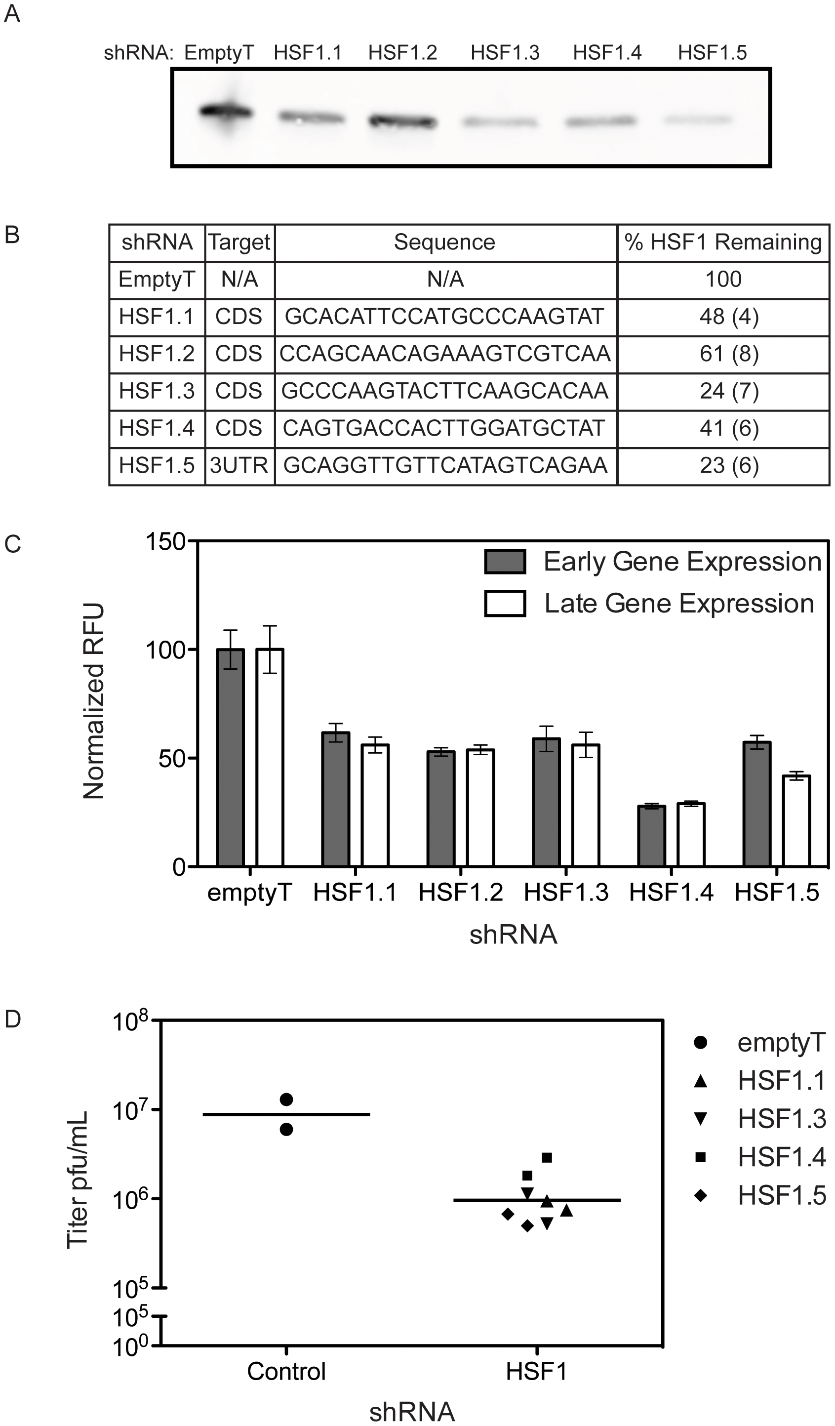 HSF1 knockdown inhibits VACV infection.