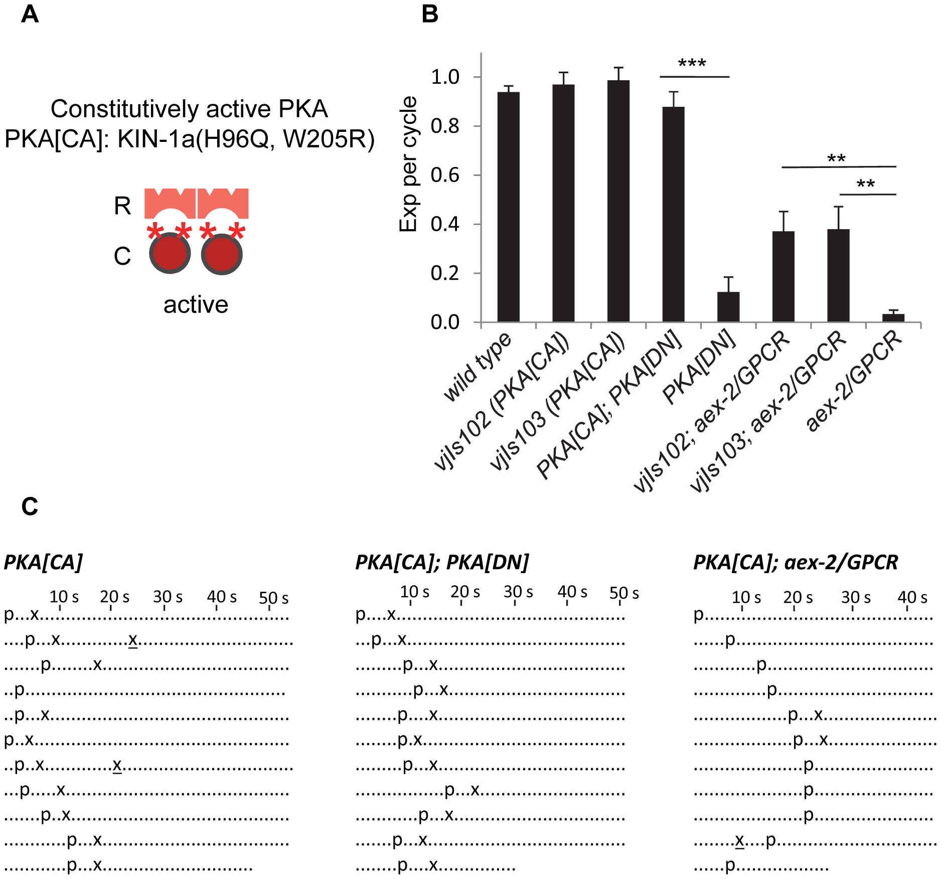Constitutively active PKA in GABAergic neurons partially bypasses the requirement of AEX-2/GPCR.