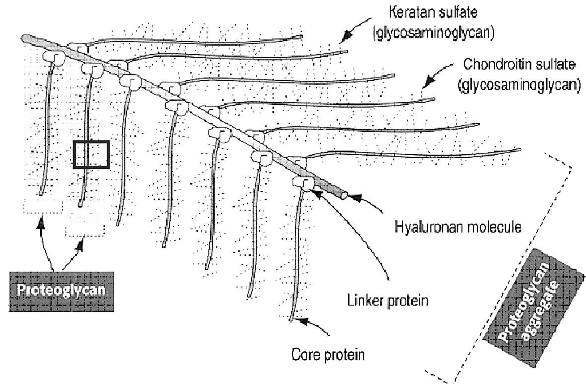 Schematické znázornění struktury proteoglykanu – hlavní části kolagenního vaziva: mikrostruktury pro fixní i další funkce substrátu viskoelasticity (upraveno podle 12).