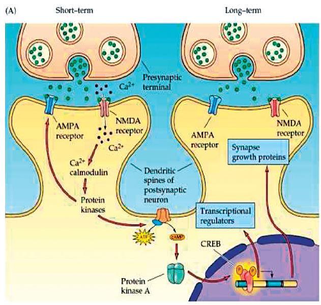 Externalizace AMPA receptorů a růst nové synapse. (Převzato Purves, D. et al., Neuroscience 4ed 2014.)