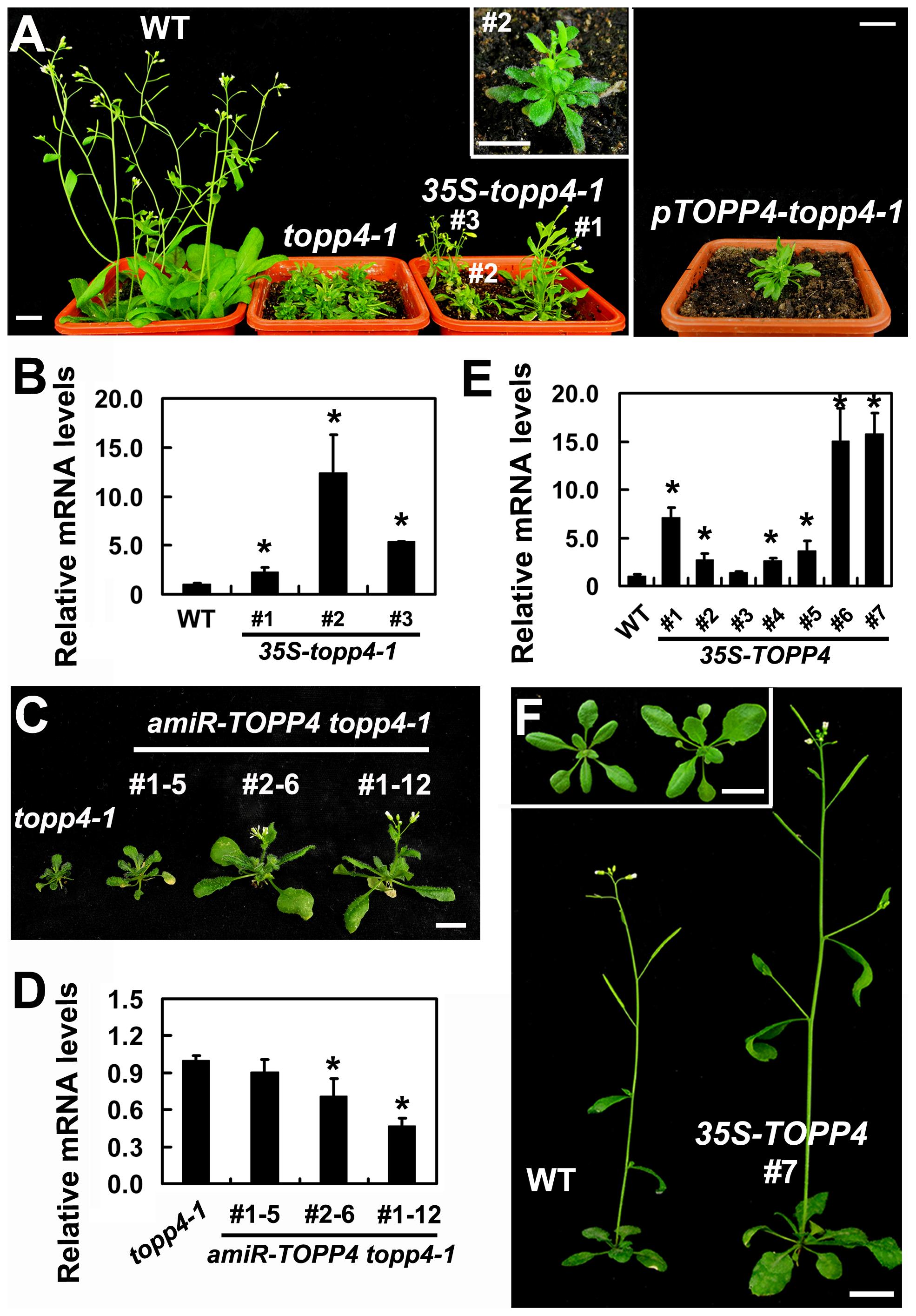 Expression of <i>35S-topp4-1</i>, <i>pTOPP4-topp4-1</i>, or <i>35S-TOPP4</i> in wild-type plants.