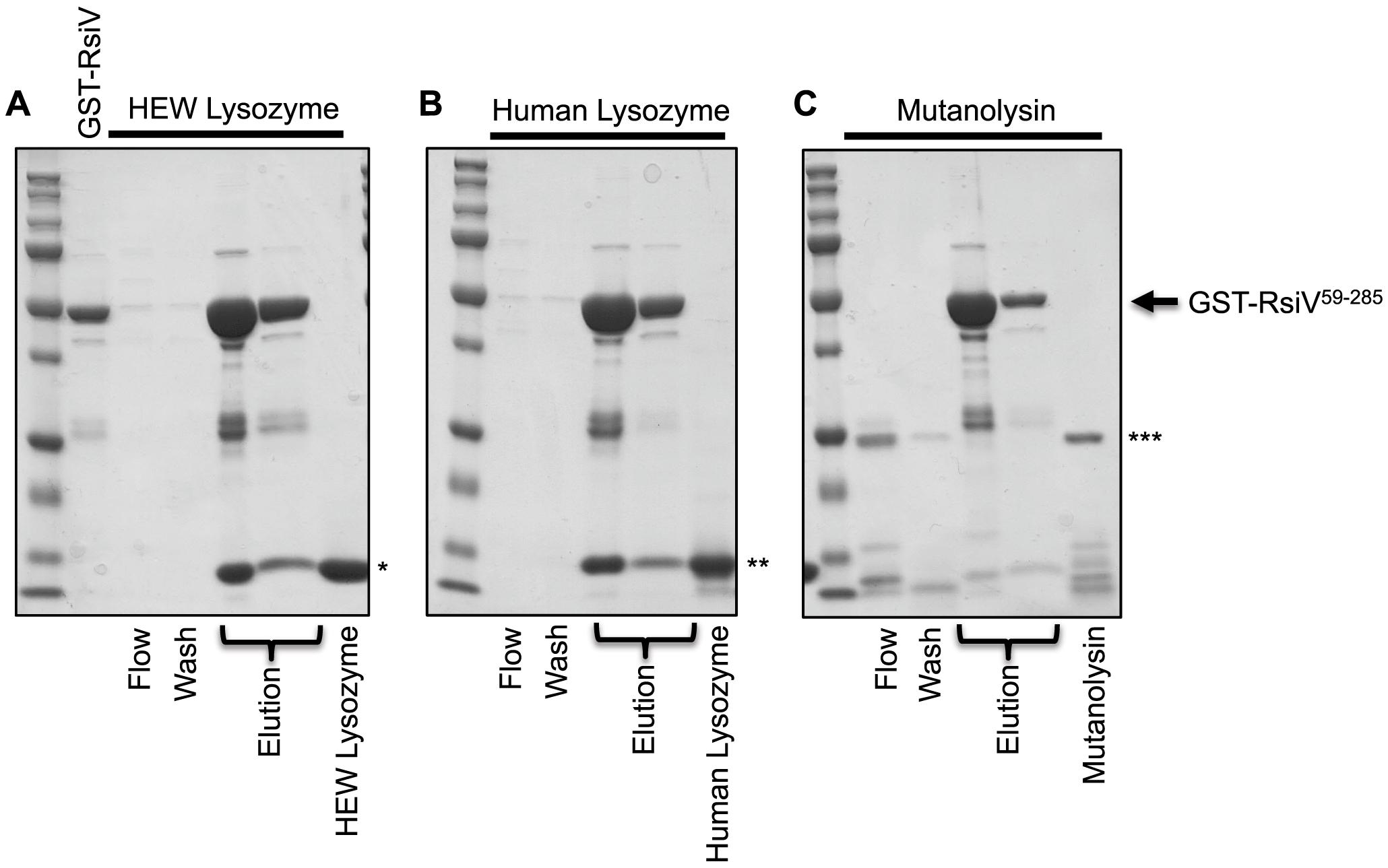 RsiV binds C-type lysozyme but not mutanolysin.