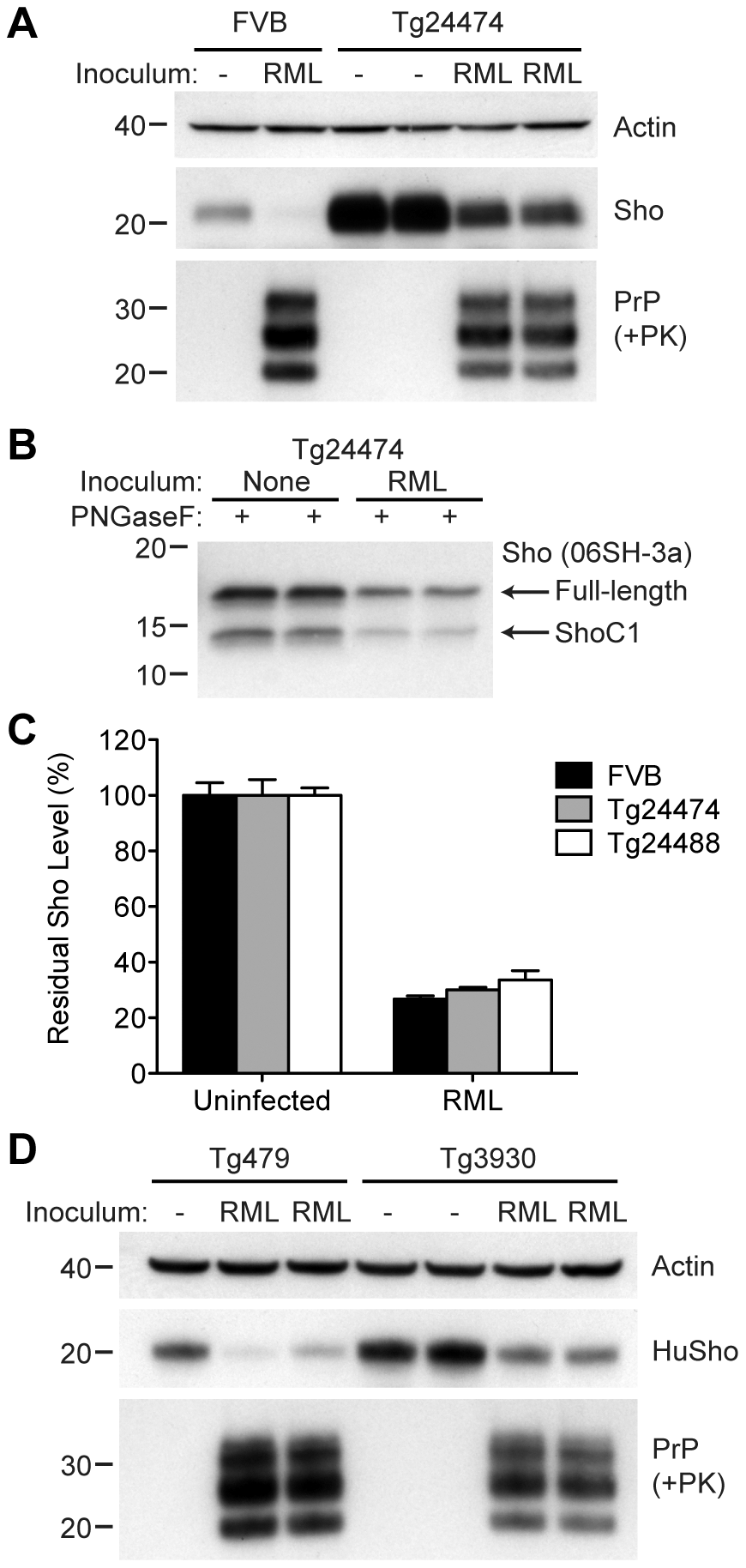 Sho levels in prion-infected Tg(MoSho) and Tg(HuSho) mice.