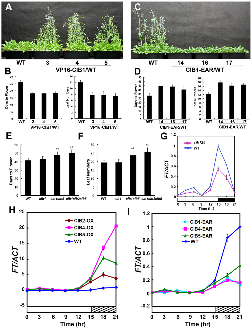 CIB proteins promote flowering redundantly by activating <i>FT</i> mRNA expression.