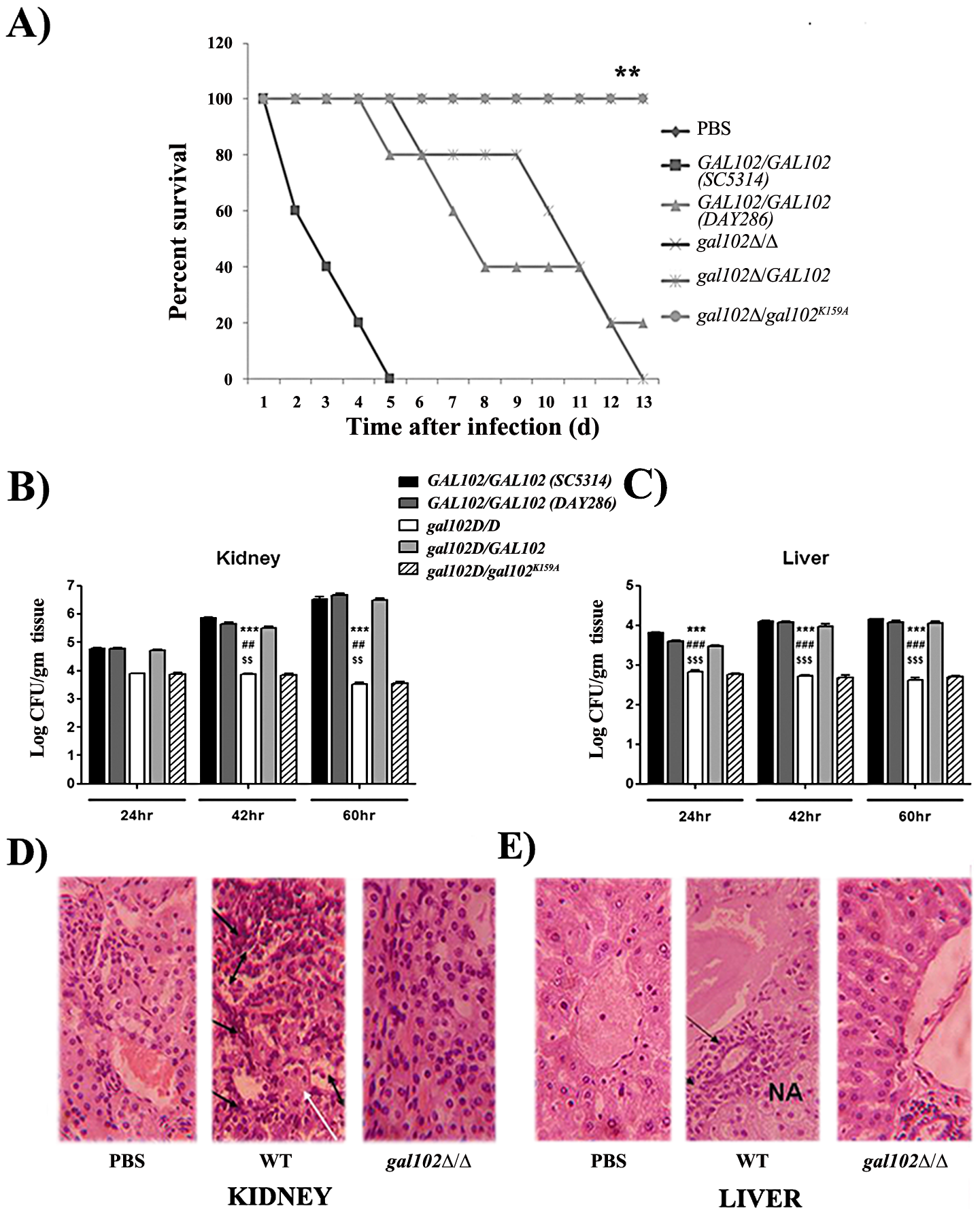 Infection of mice with <i>gal102Δ/Δ</i> leads to enhanced survival and reduced fungal tissue burden.