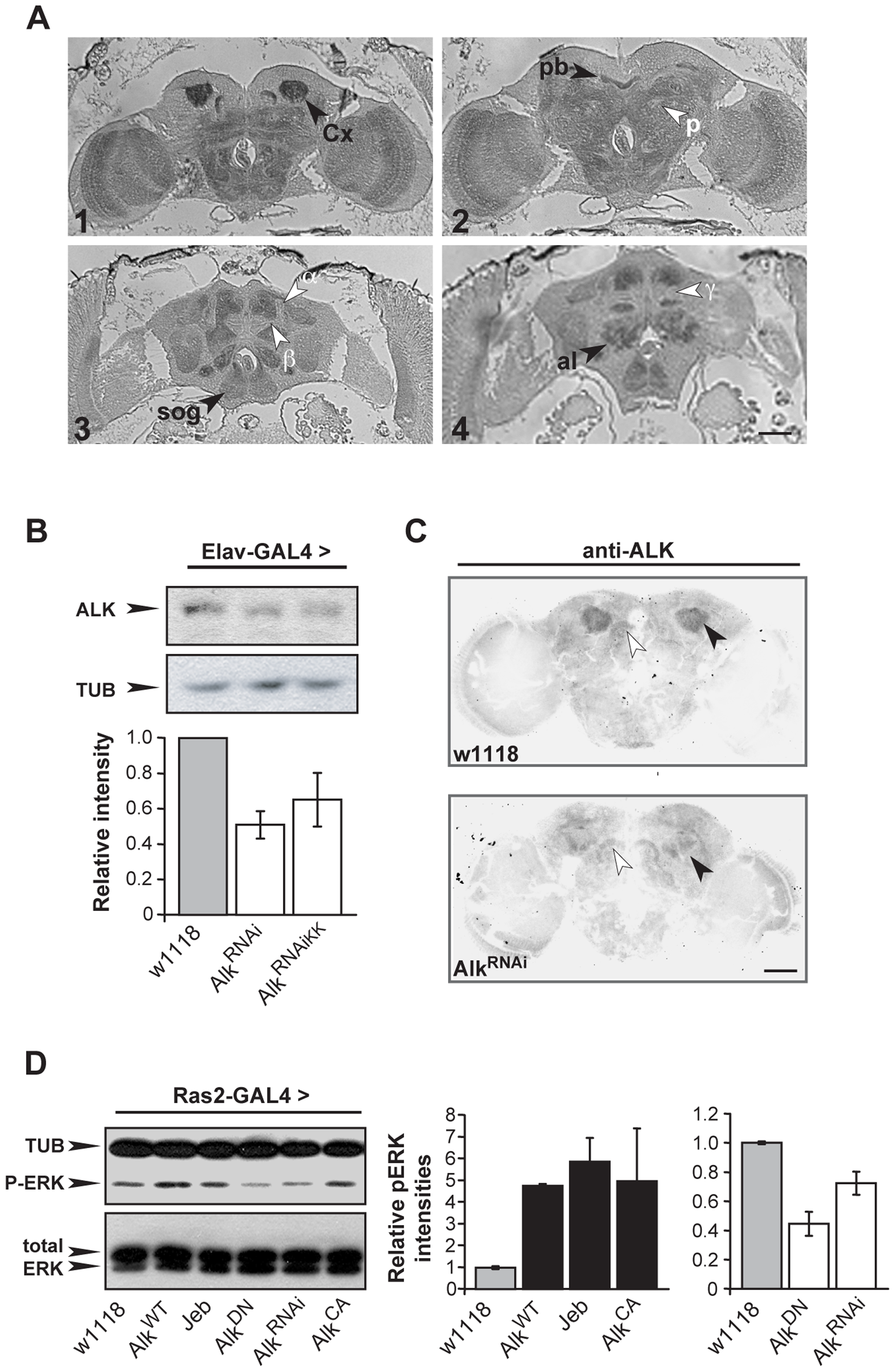 dAlk protein is an active RTK expressed in the adult CNS.