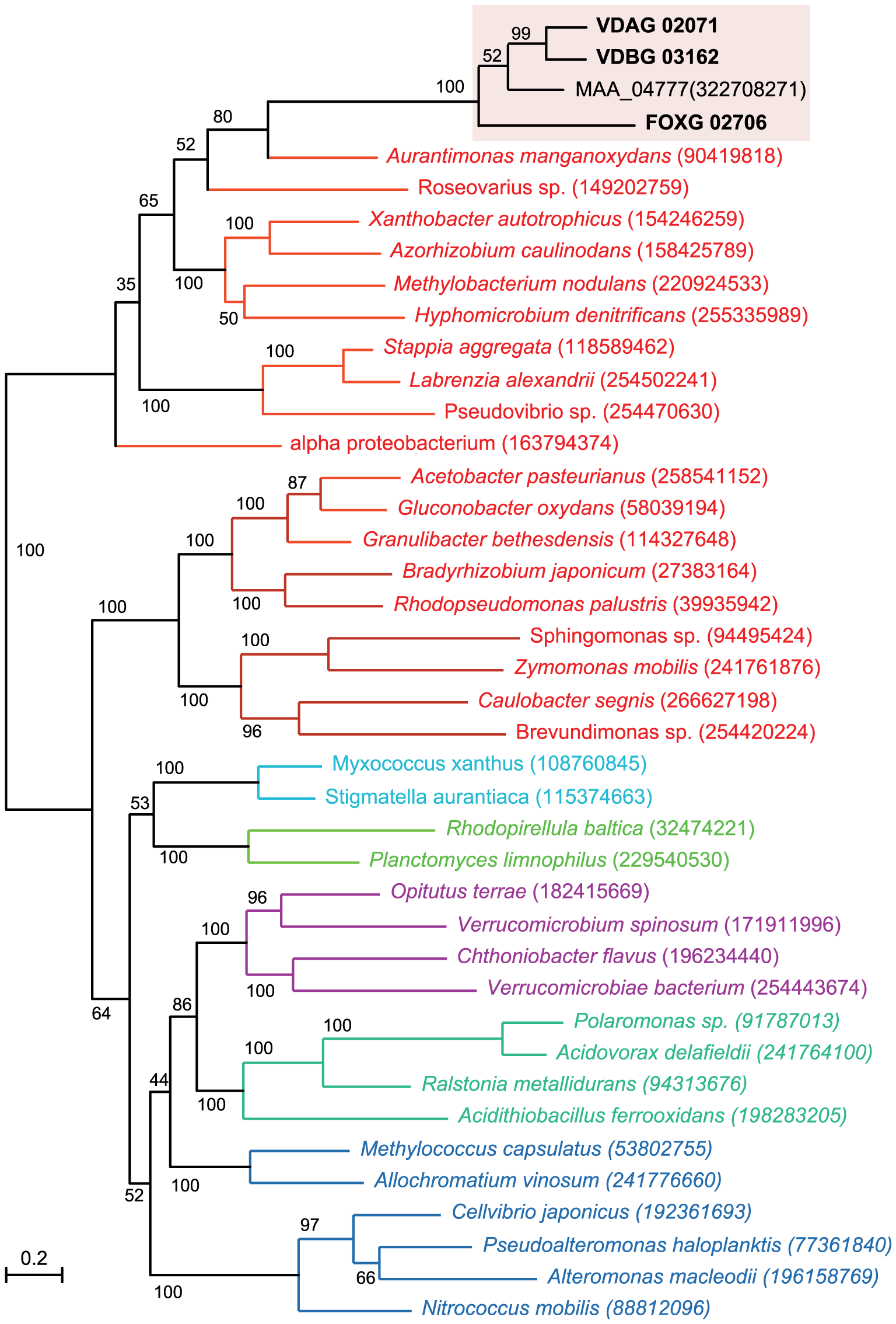 A maximum-likelihood tree including four glucosyltransferase proteins from the plant pathogens <i>V. dahliae</i> (VDAG_02071.1), <i>V. albo-atrum</i> (VDBG_03162.1), <i>Fusarium oxysporum</i> f. sp. <i>lycopersici</i> (FOXG_02706.2), and the insect pathogen <i>Metarhizium anisopliae</i> ARSEF 23 (Genbank accession EFY99848), and their relationship to bacterial homologs.