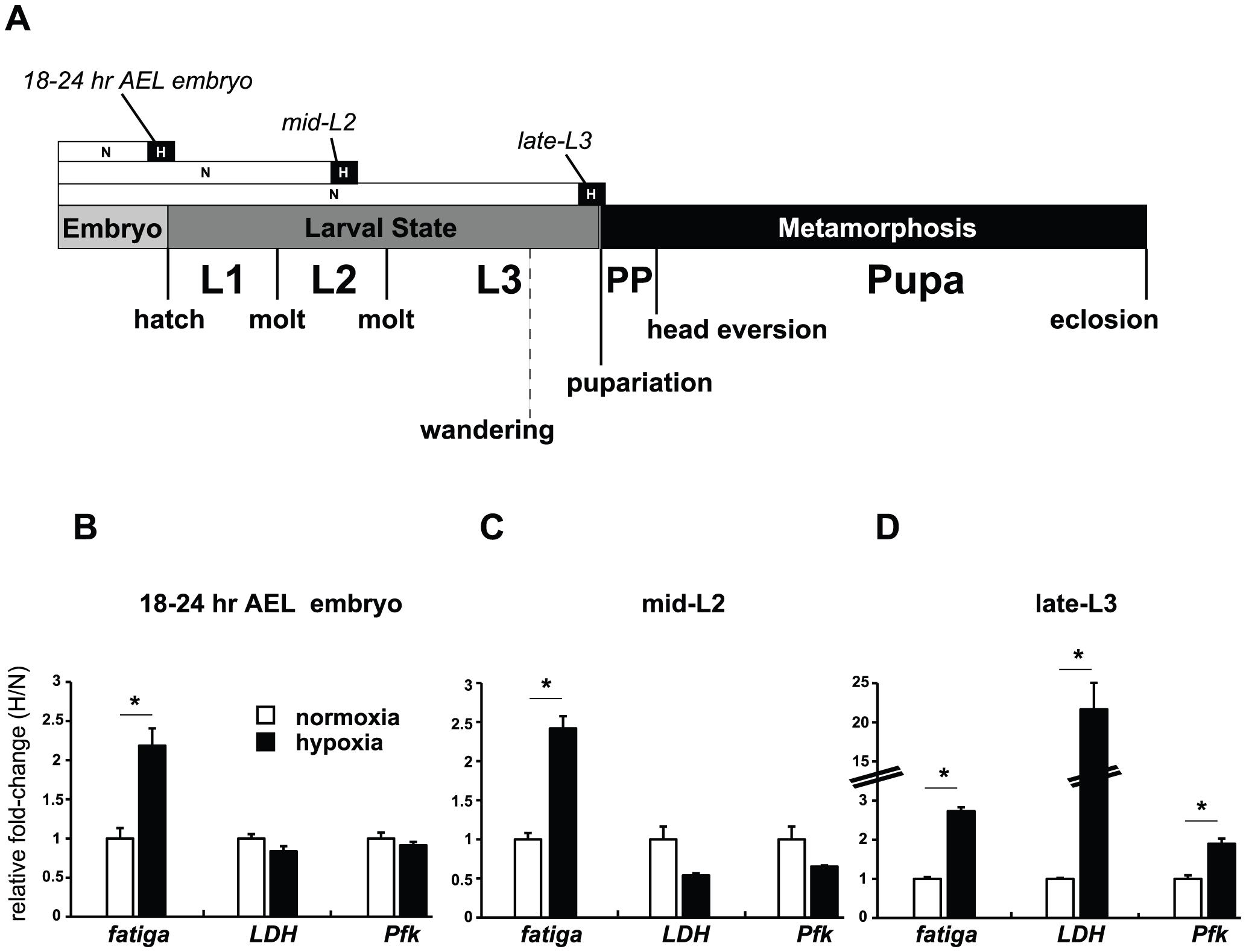 Temporal-dependent hypoxic responses.
