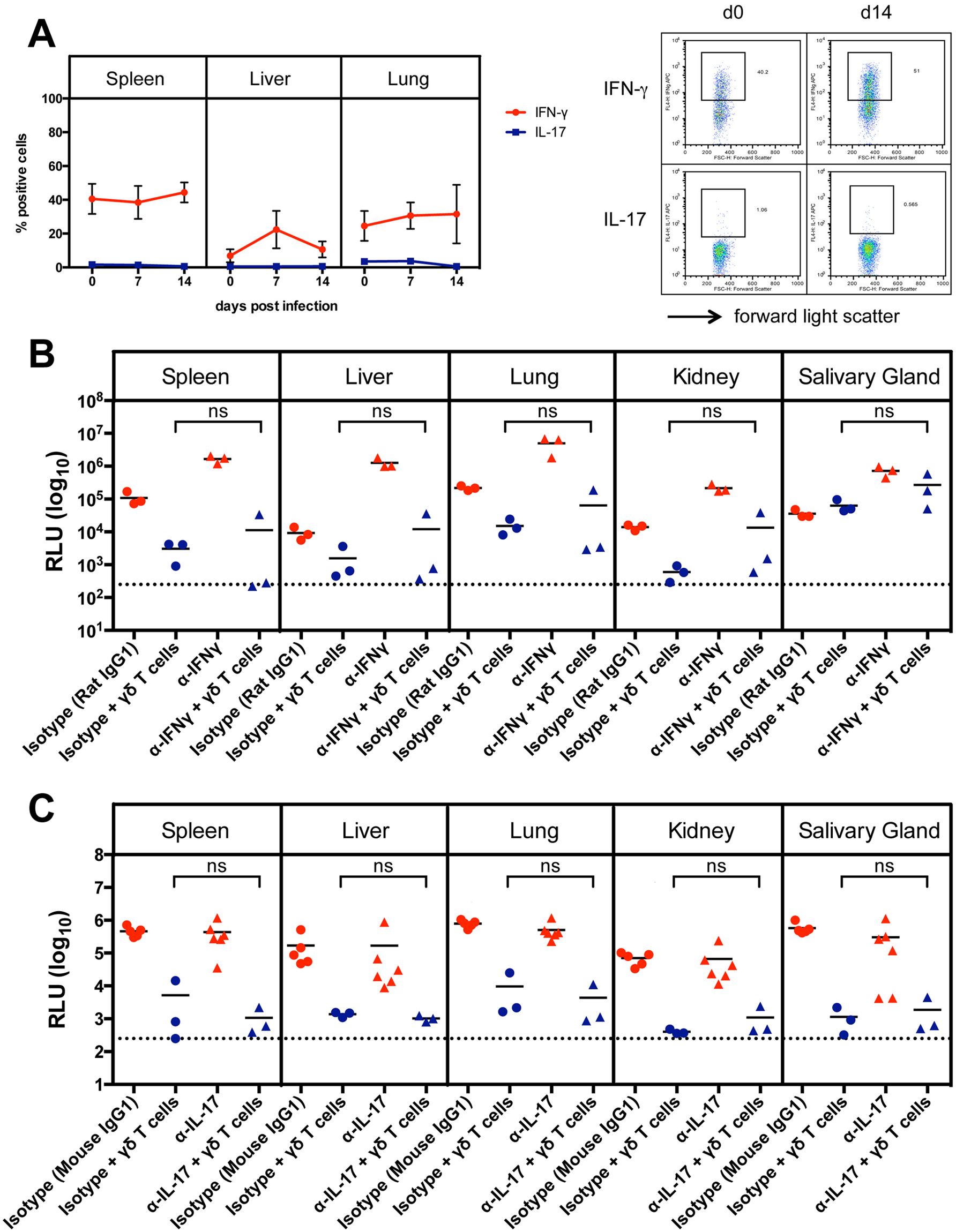 Cytokine production of γδ T cells after MCMV infection.