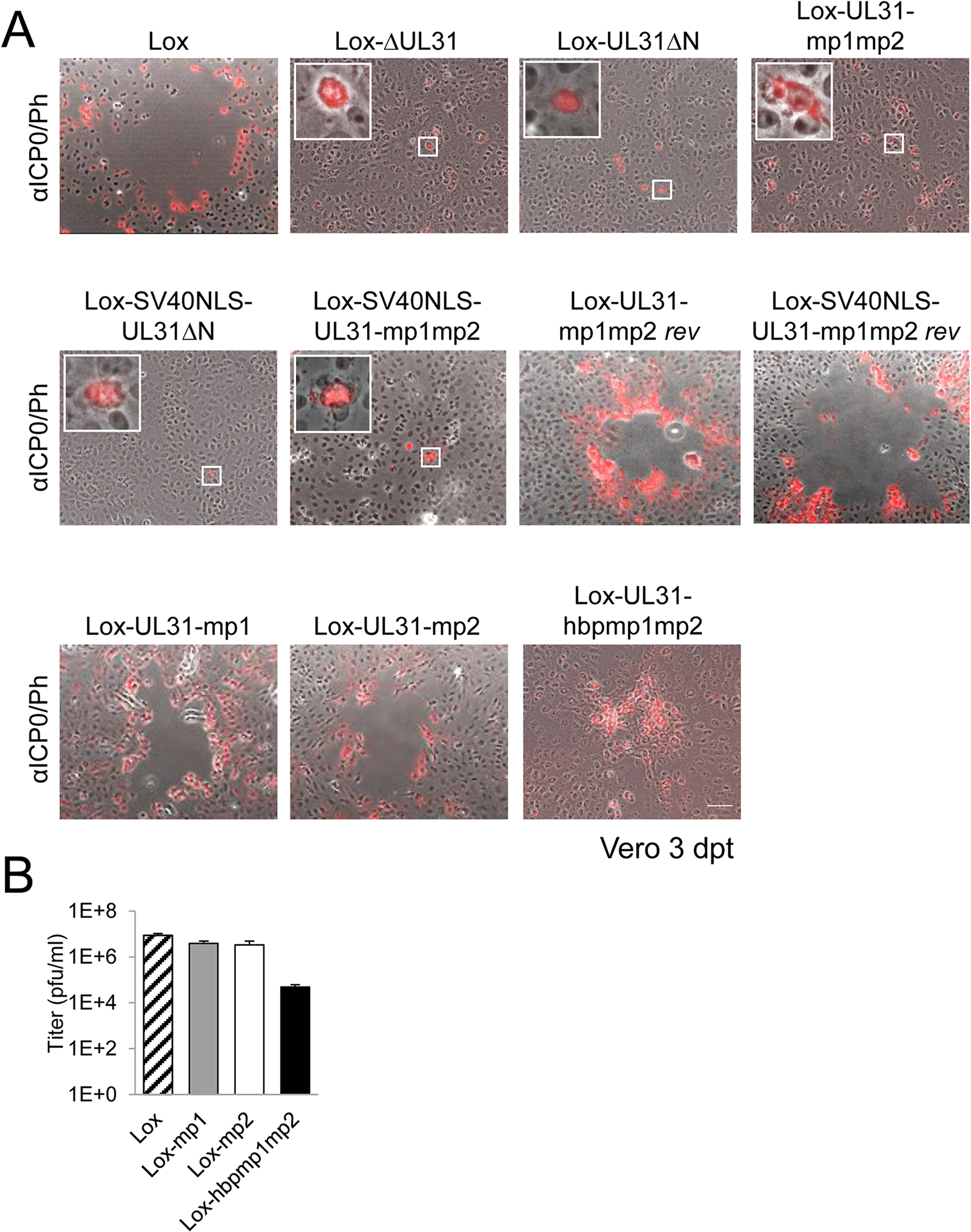 The N-terminal domain of pUL31 harboring basic patches is essential for HSV-1 propagation.