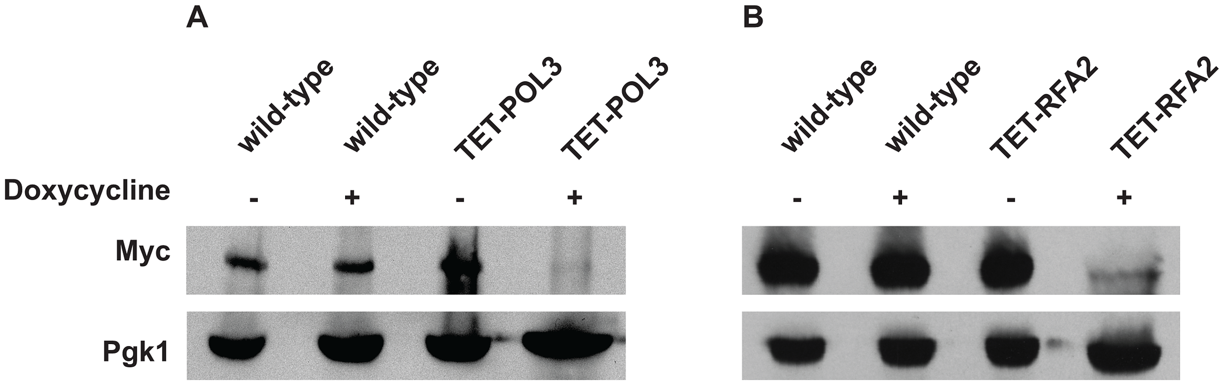 Analysis of protein levels of Pol3 and Rfa2 in the wild-type and tetracycline downregulatable strains.