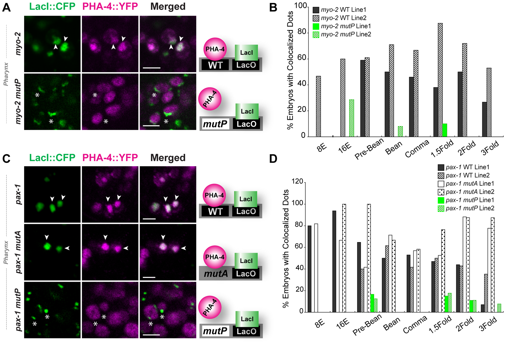 PHA-4 associates with pharyngeal target promoters by the 8E (<b>∼</b>100 cell) stage.