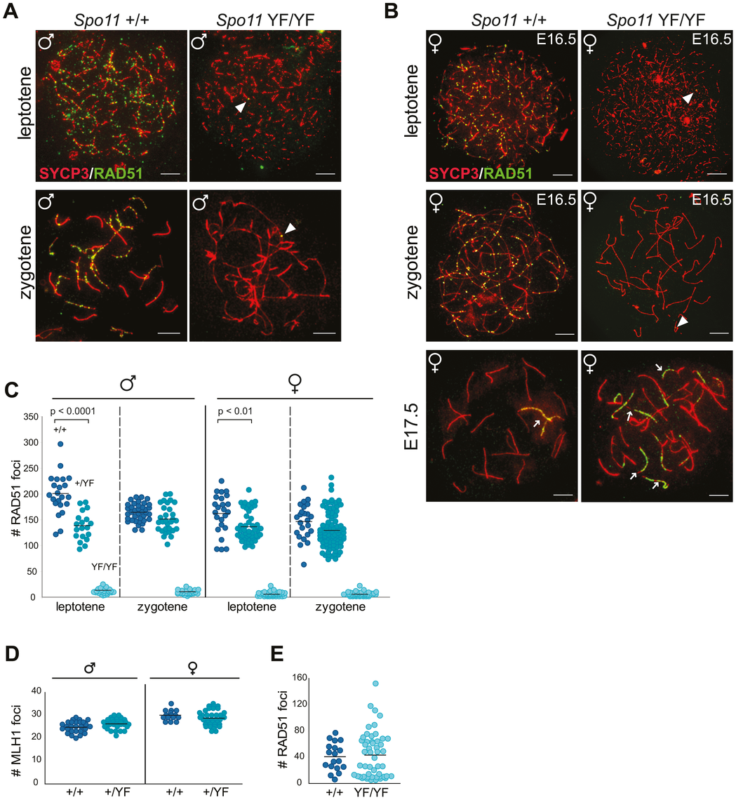 SPO11-dependent and -independent RAD51 foci in mouse meiocytes.