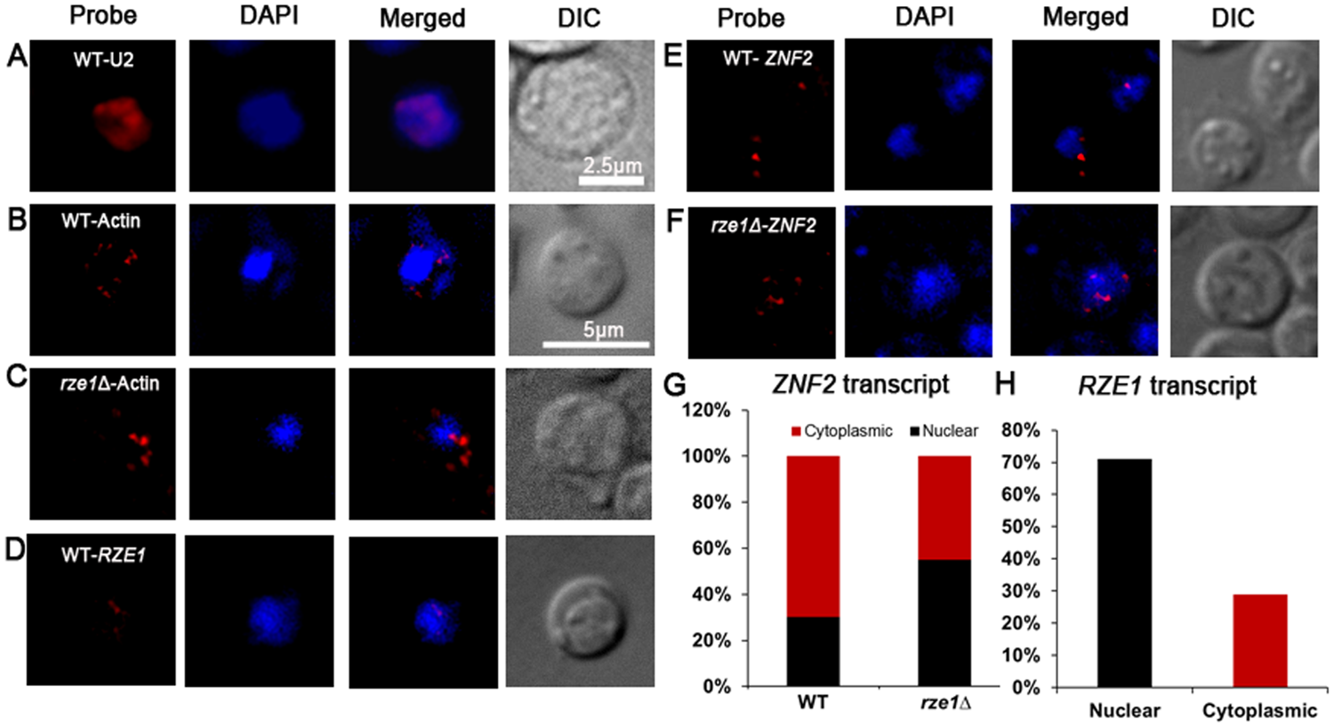 <i>RZE1</i> regulates the subcellular distribution of <i>ZNF2</i> transcripts.