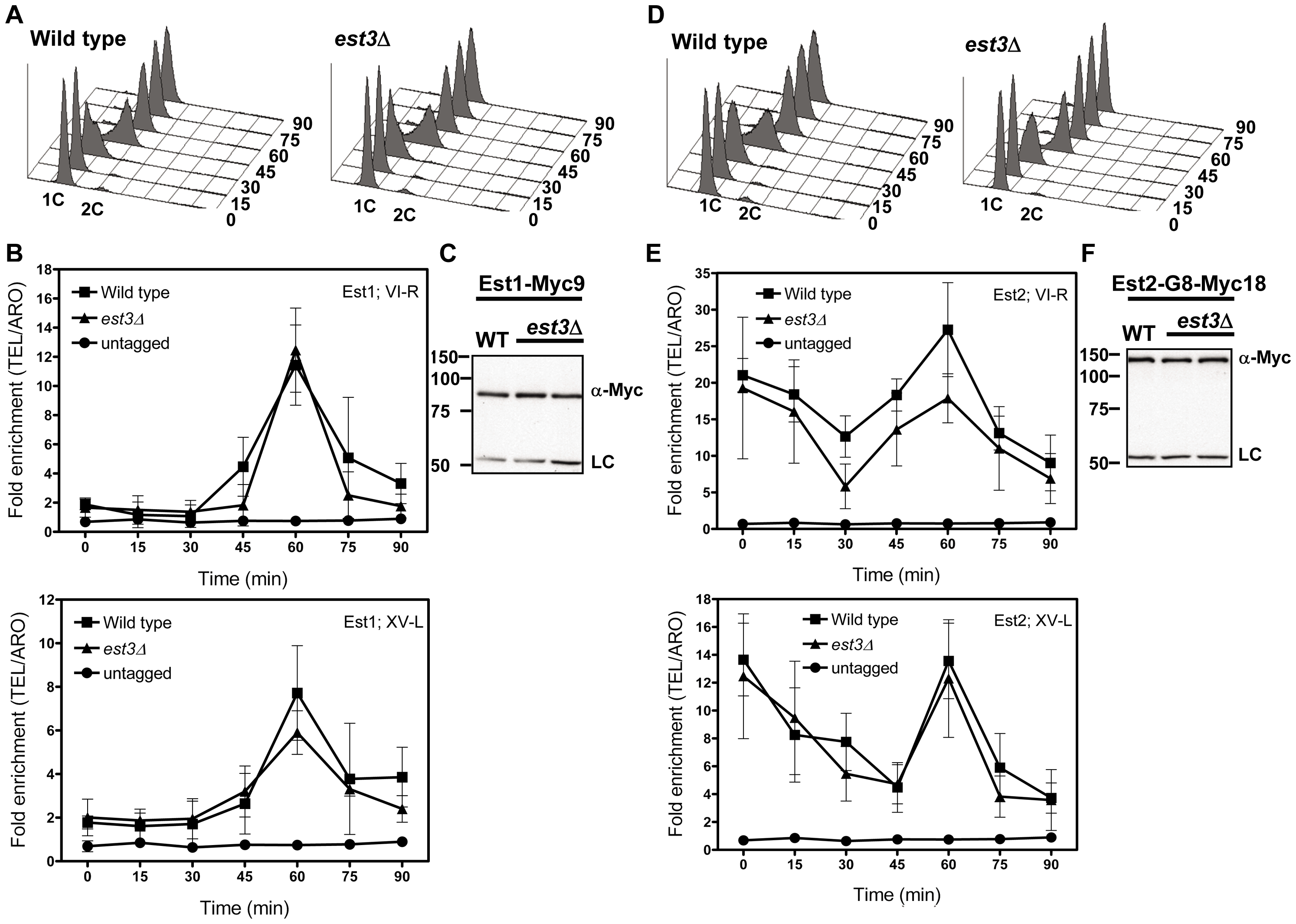 The late S/G2 phase telomere association of Est1 and Est2 is not reduced in the absence of <i>est3</i>Δ.