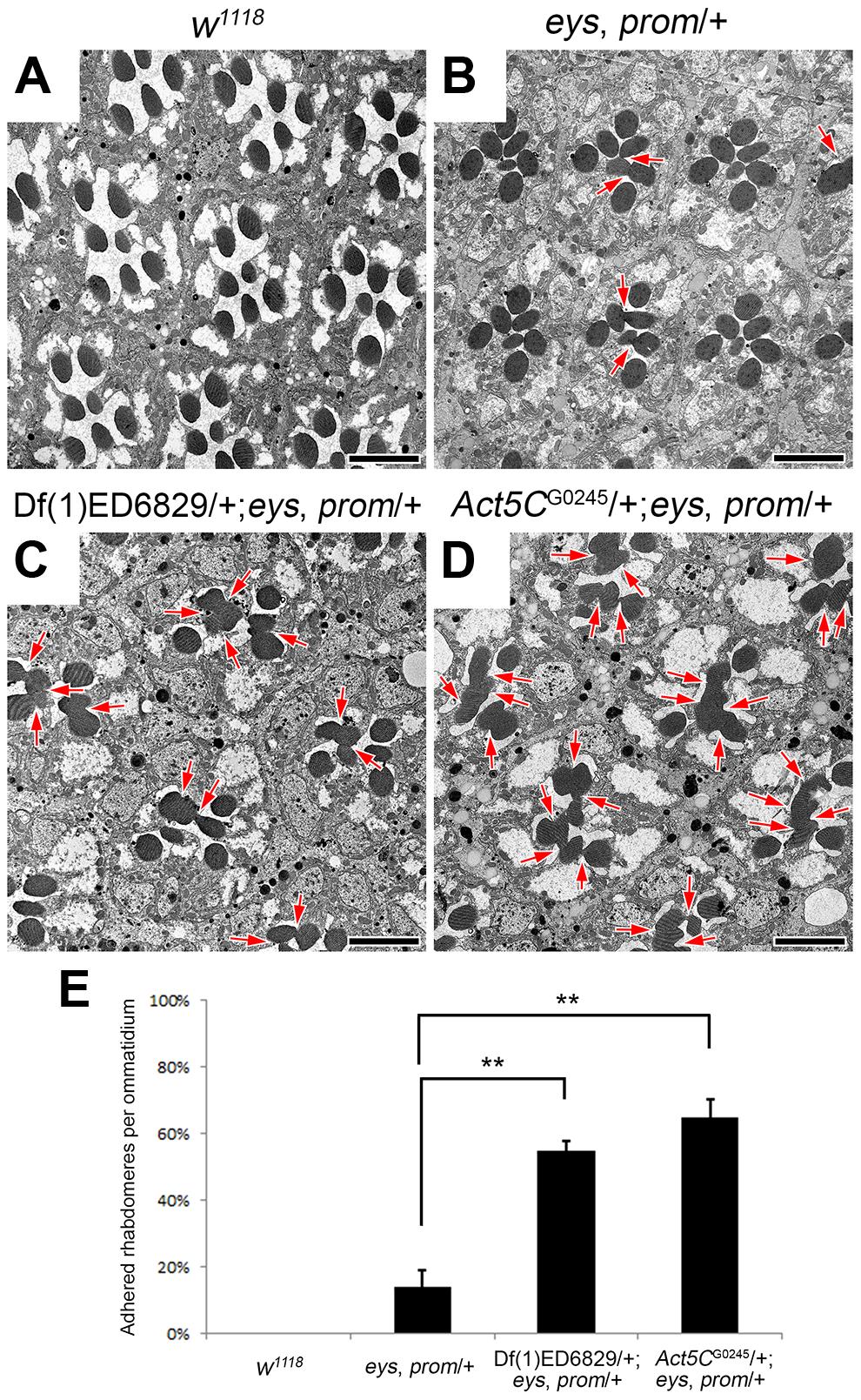 Reduction of <i>Act5C</i> dosage enhances rhabdomere adhesion.