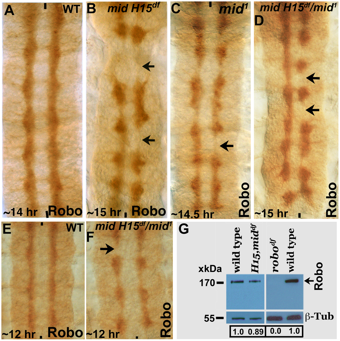 Expression of Robo is not affected in <i>mid</i> mutant embryos.