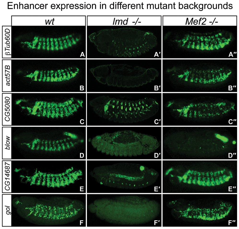 Shared enhancers have differential requirements for Mef2 and Lmd <i>in vivo</i>.