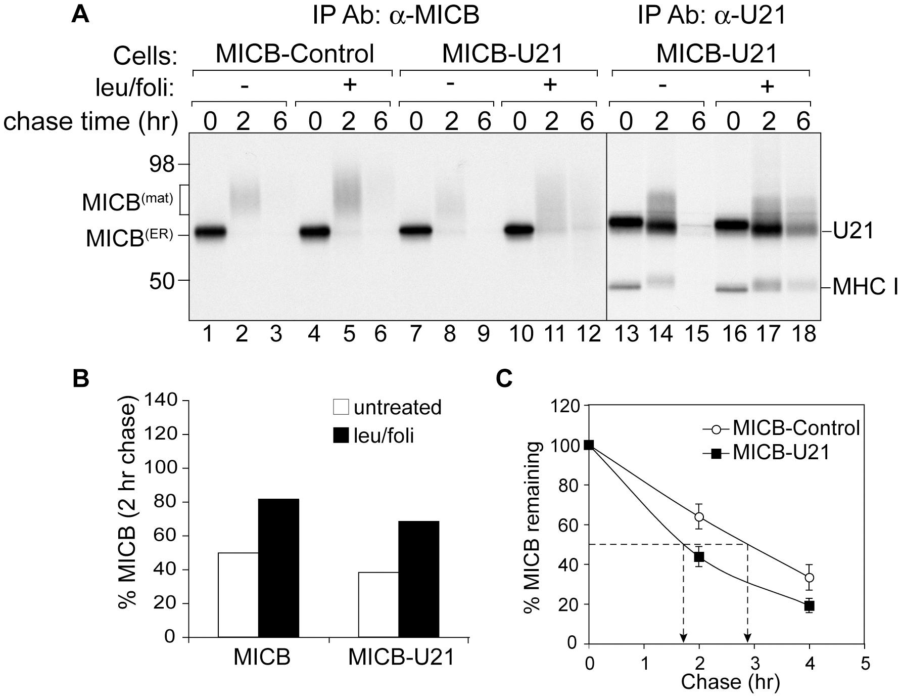U21 expression destabilizes MICB.