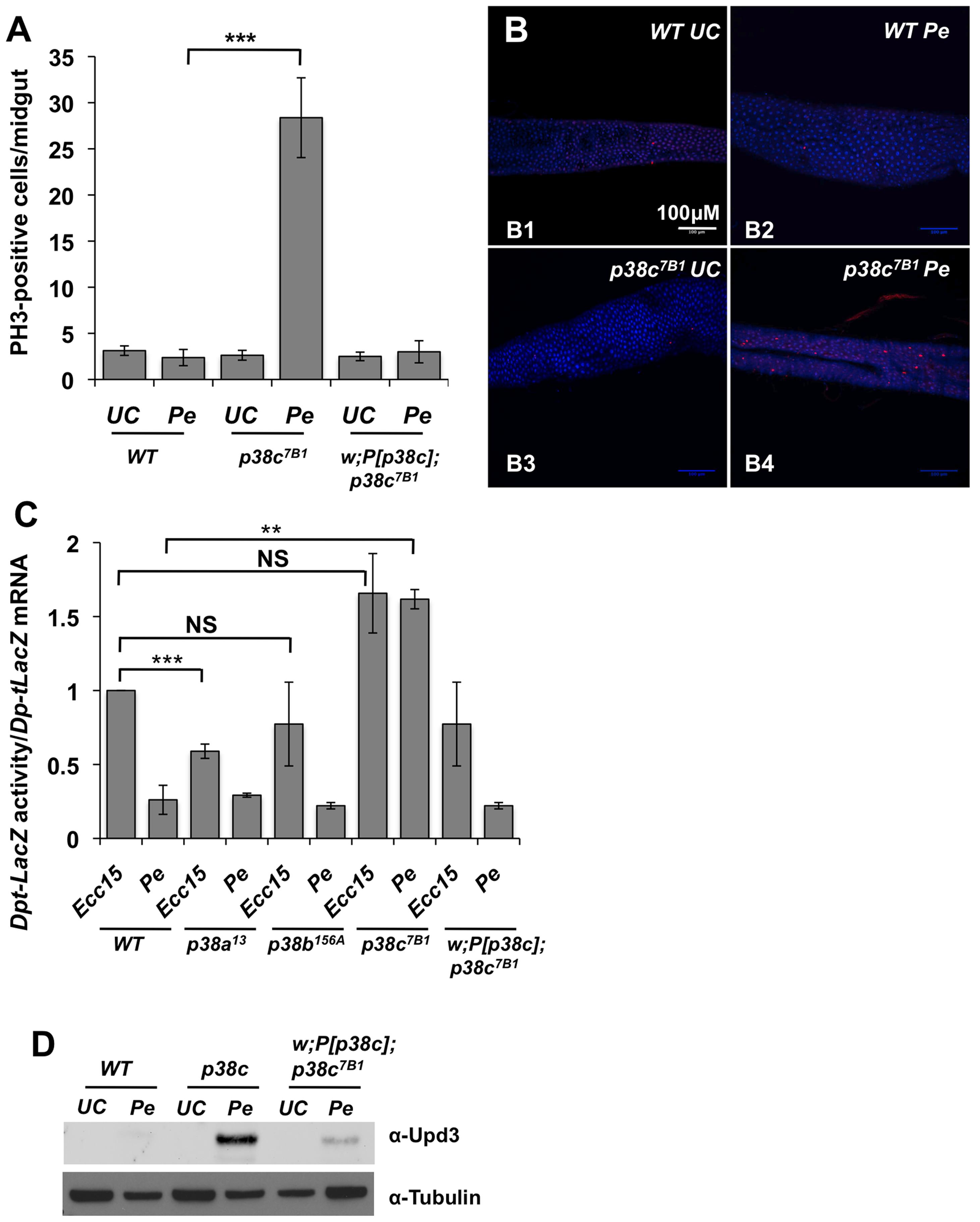 p<i>38c</i> contributes to <i>P. entomophila</i> mediated inhibition of translation.