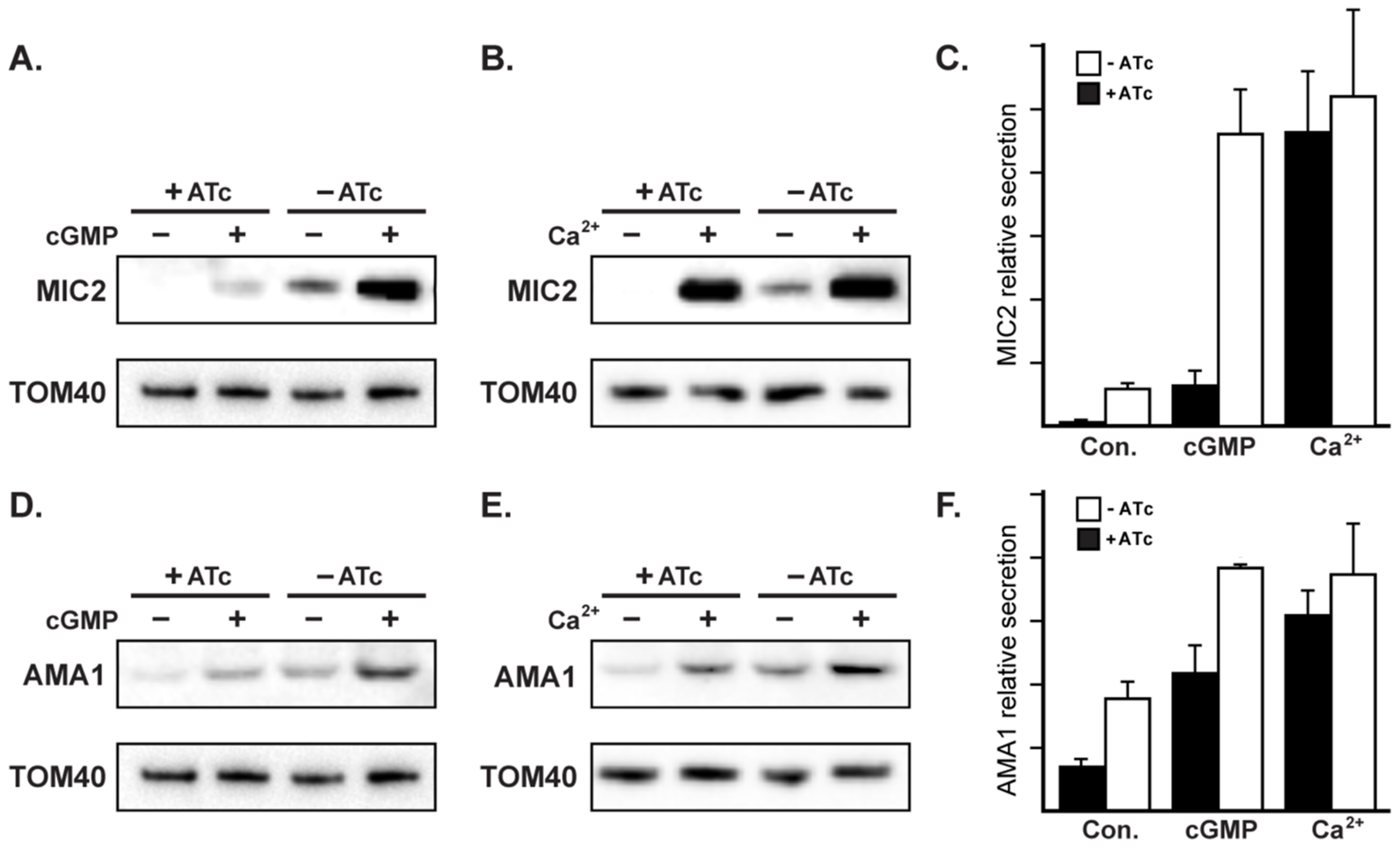 RNG2 has a role in regulated microneme secretion.