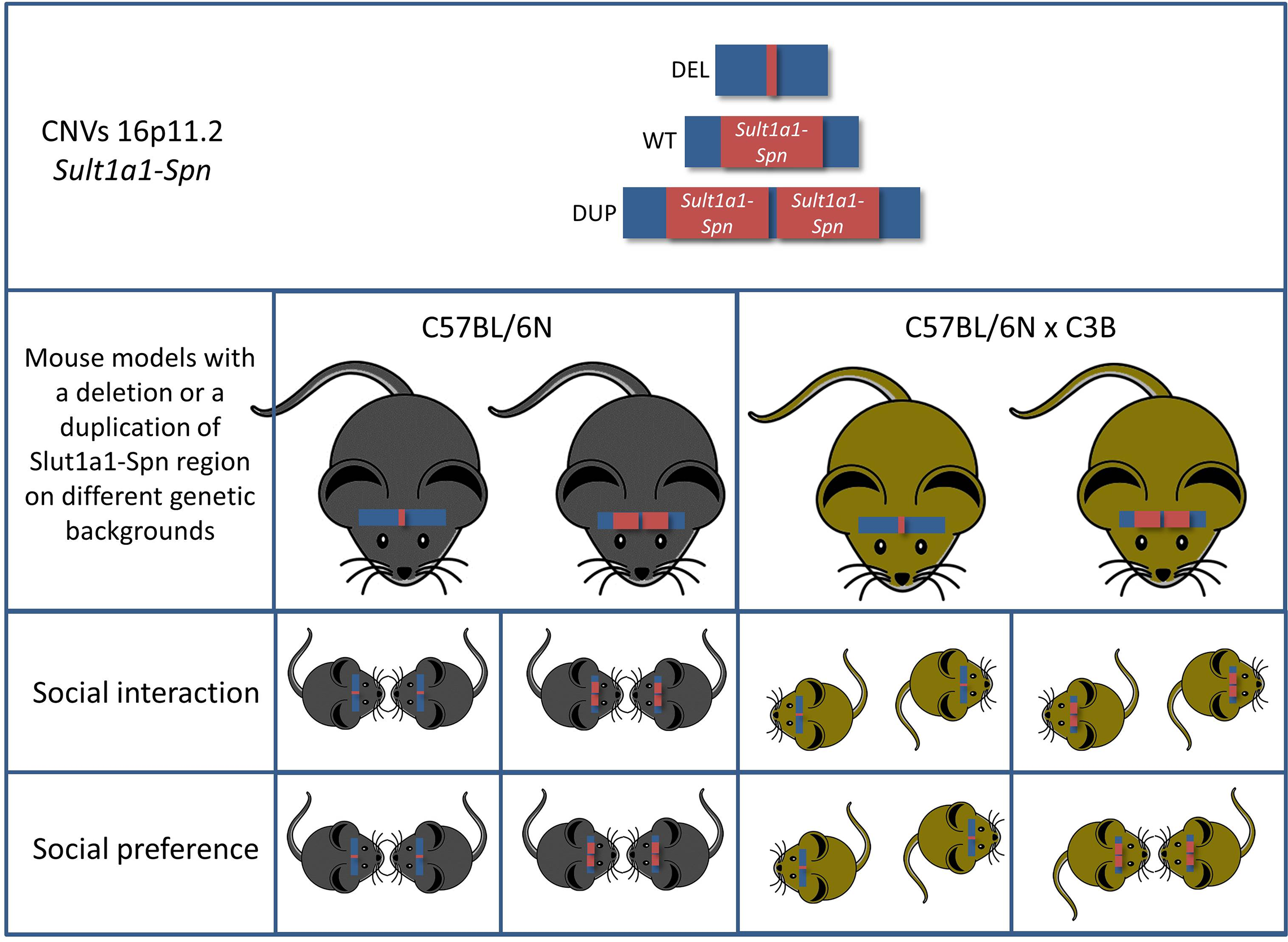 Mice carrying a deletion syntenic to the human chromosome 16p11.2 (Sult1a1-Spn) exhibit multiple behavioral phenotypes associated with ASD.