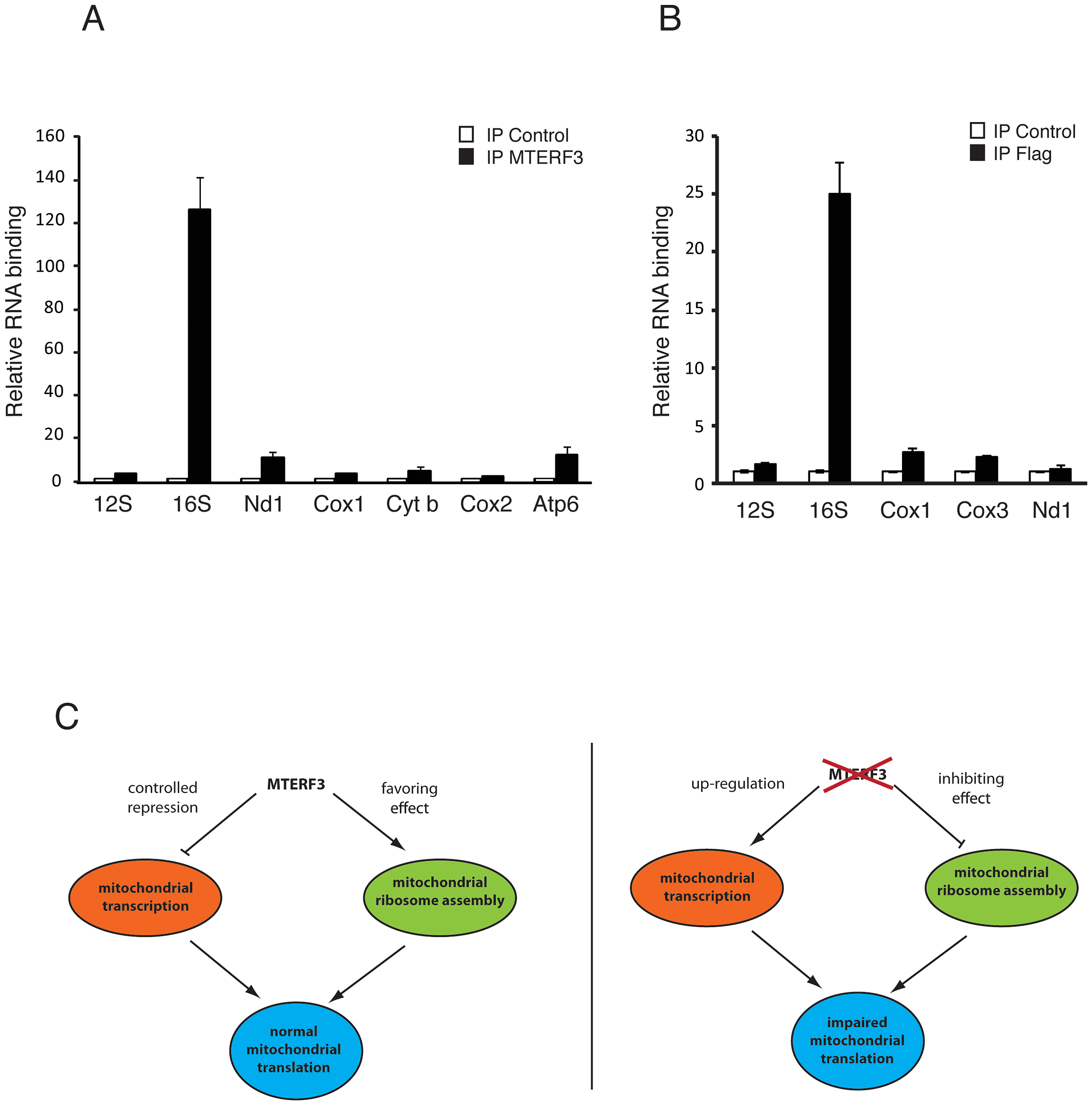 Binding of MTERF3 to mitochondrial 16S rRNA and model of MTERF3 action.