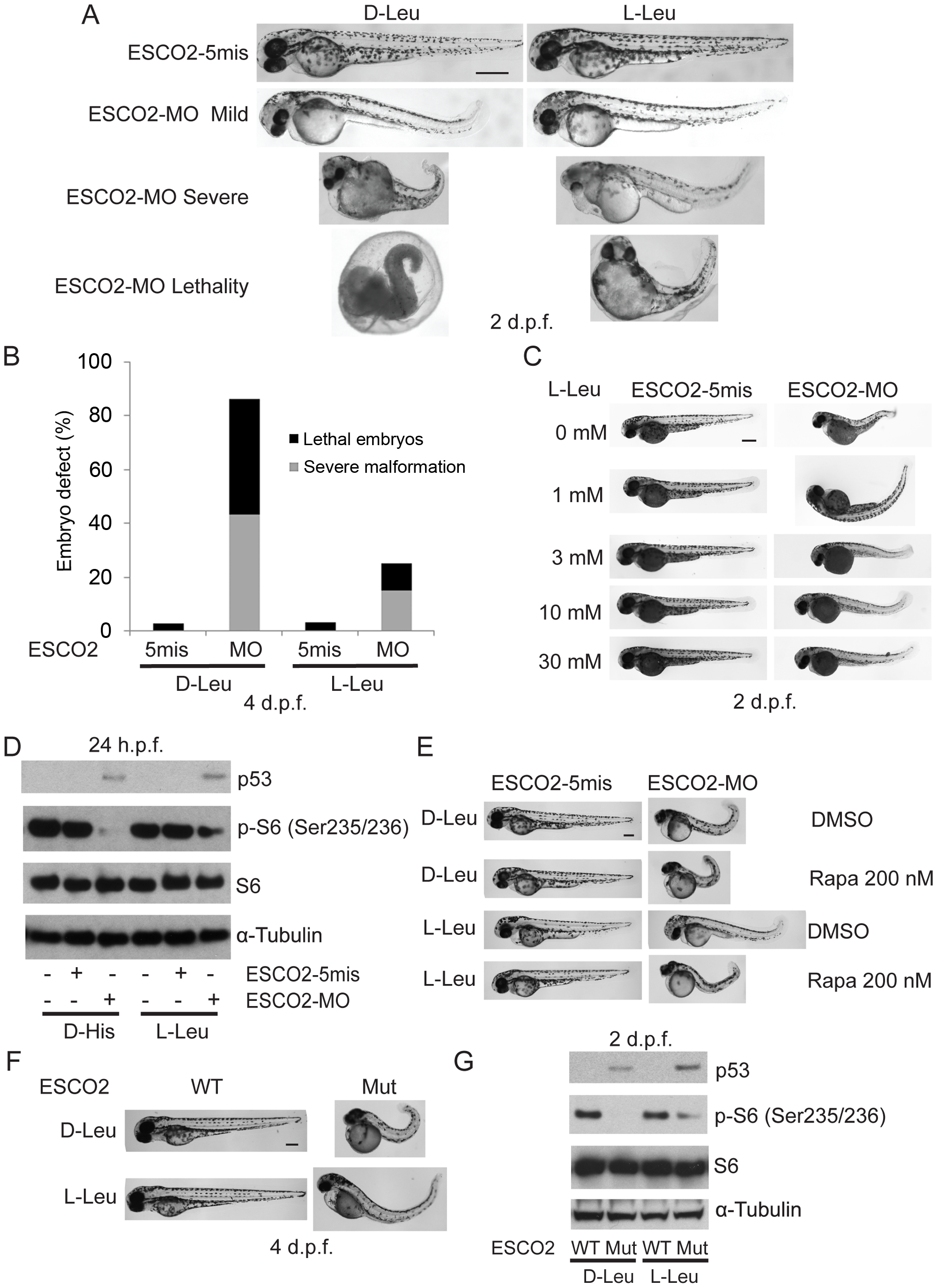 L-leucine partially improved developmental deficiencies of ESCO2 depleted embryos in a TOR pathway-dependent manner.