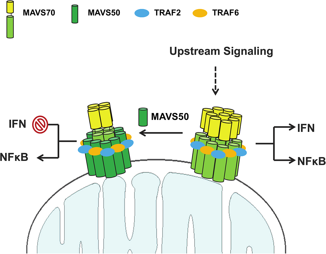 A hypothetical model on MAVS50 in modulating MAVS70-dependent signaling.