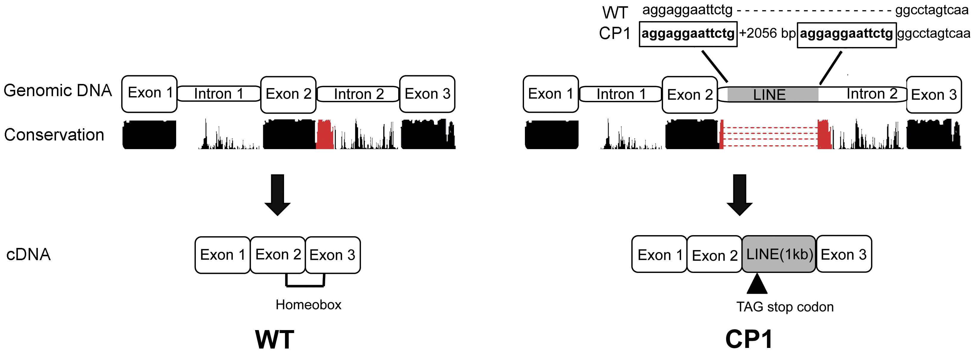 Schematic illustration of genomic and cDNA DLX6 gene structure in unaffected (WT) and CP1 NSDTRs (CP1).
