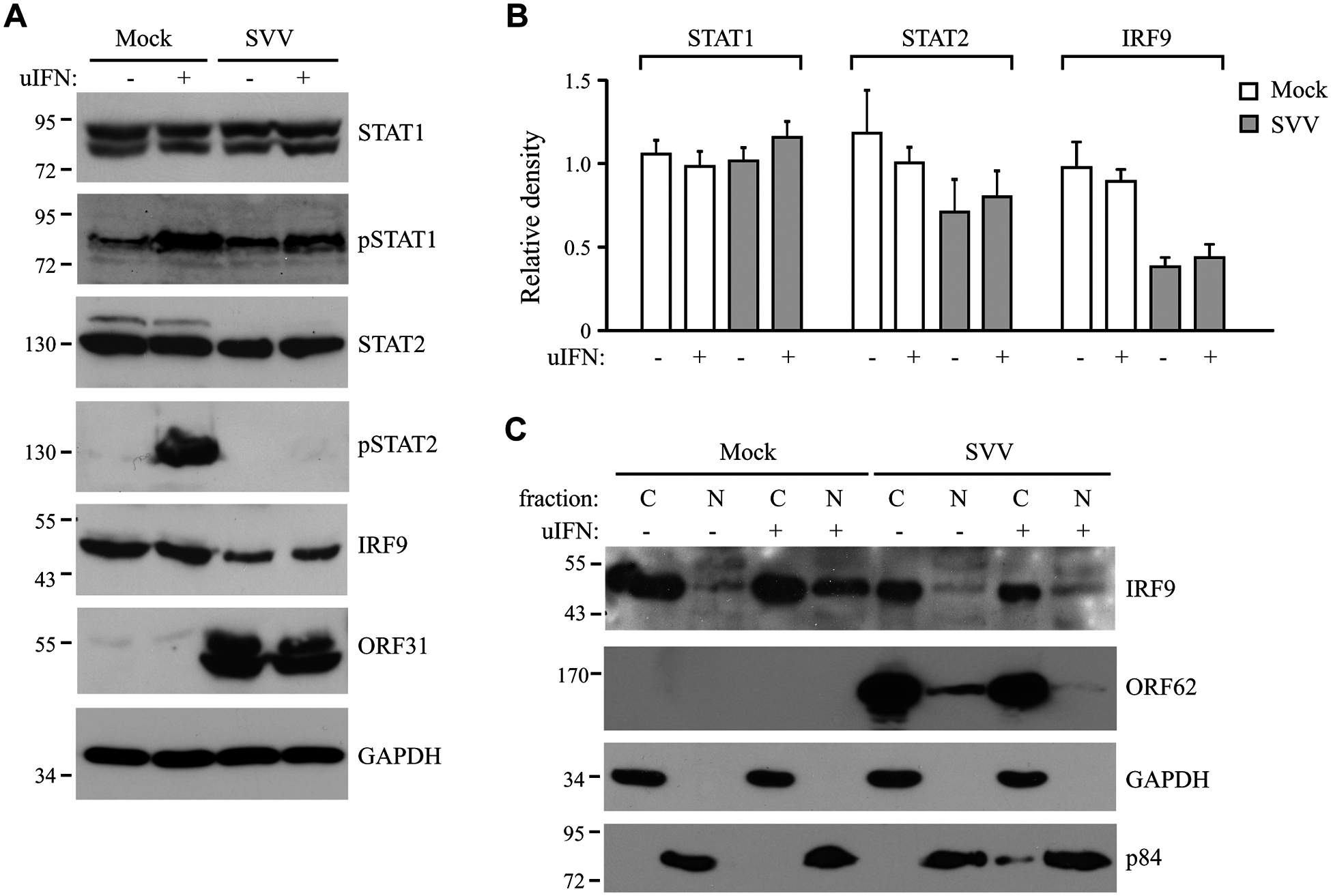 SVV prevents IFN-mediated phosphorylation of STAT2 and reduces expression levels of STAT2 and IRF9.