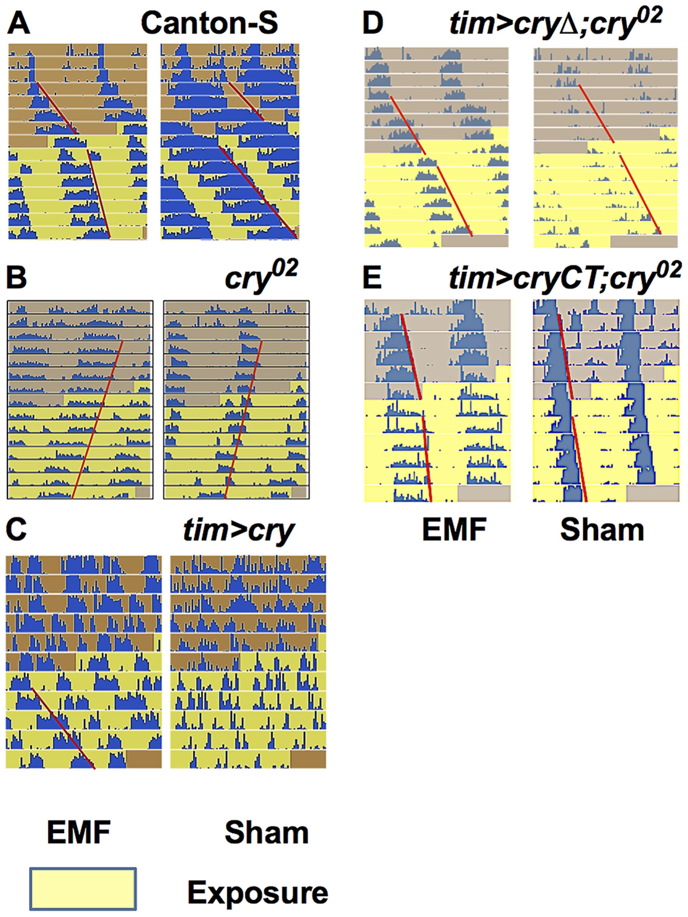 EMF exposure shortens circadian period.