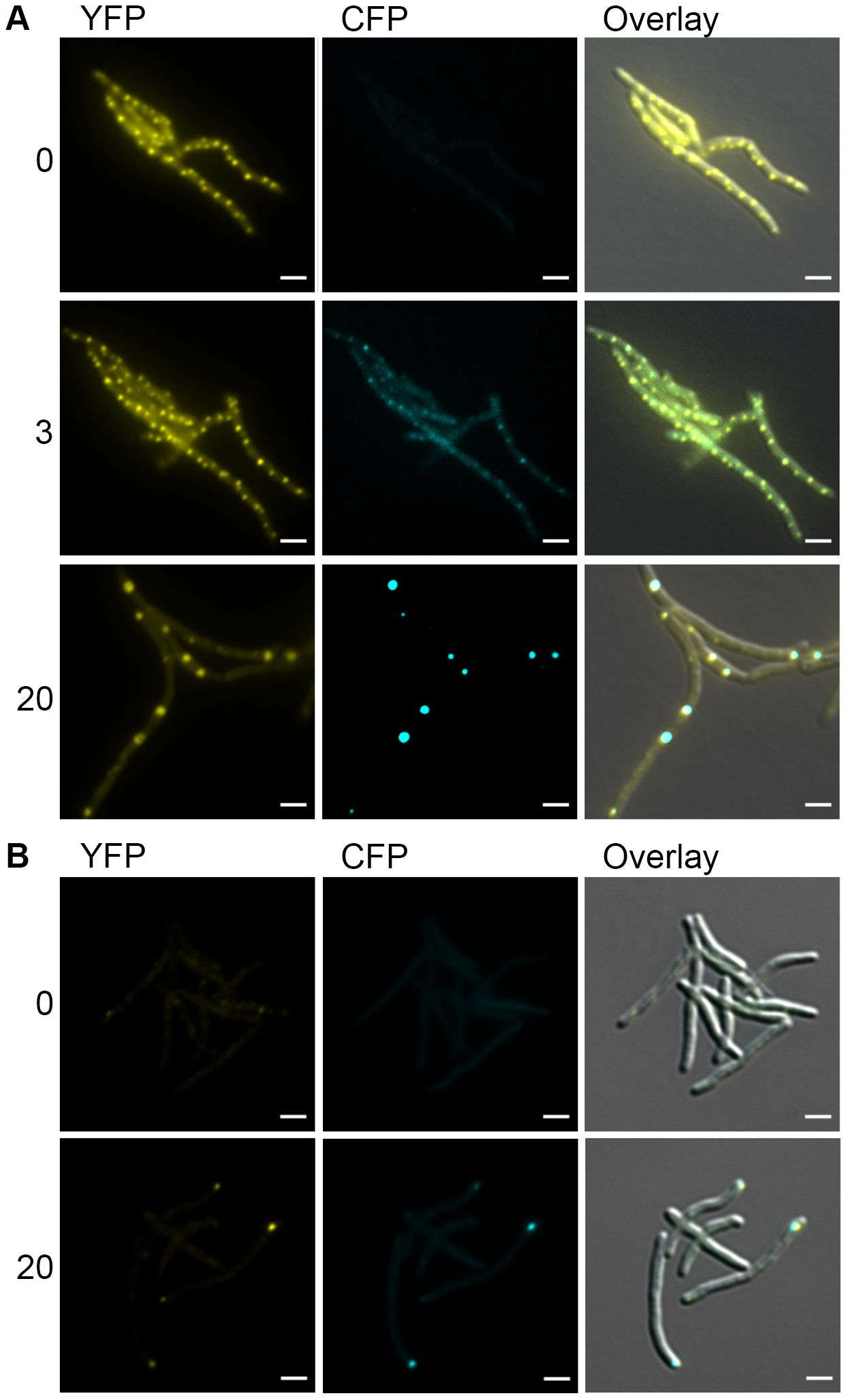 DnaK-mCitrine and ClpB-mCitrine co-localize with protein aggregates.