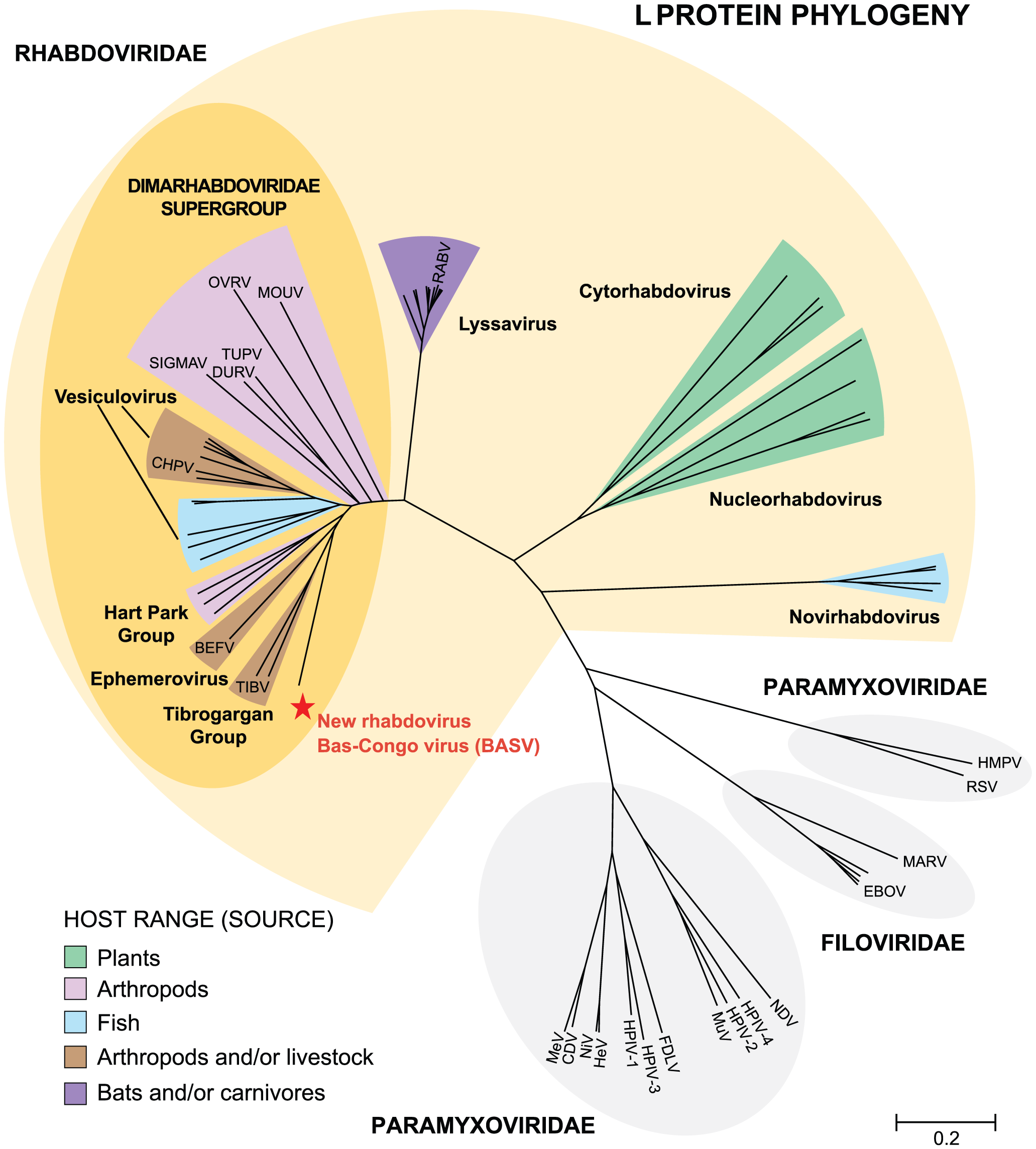 Phylogenetic analysis of the L proteins of BASV and other viruses in the order <i>Mononegavirales</i>.