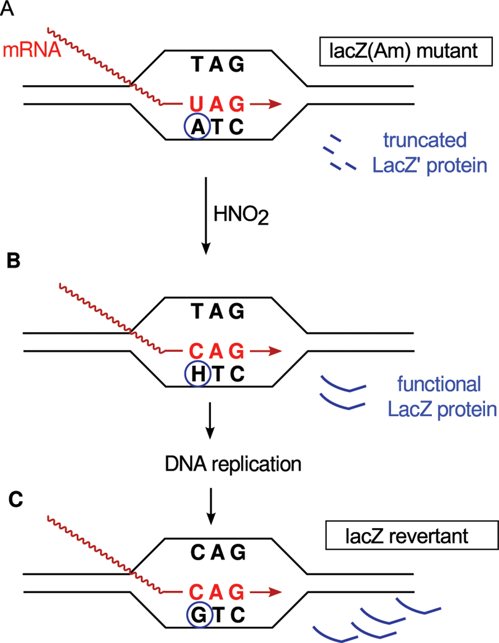 Example of retromutagenesis.
