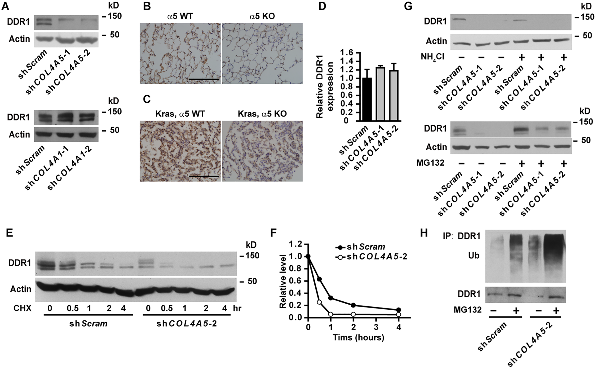 DDR1 is downregulated in α5(IV)-knockdown cells.