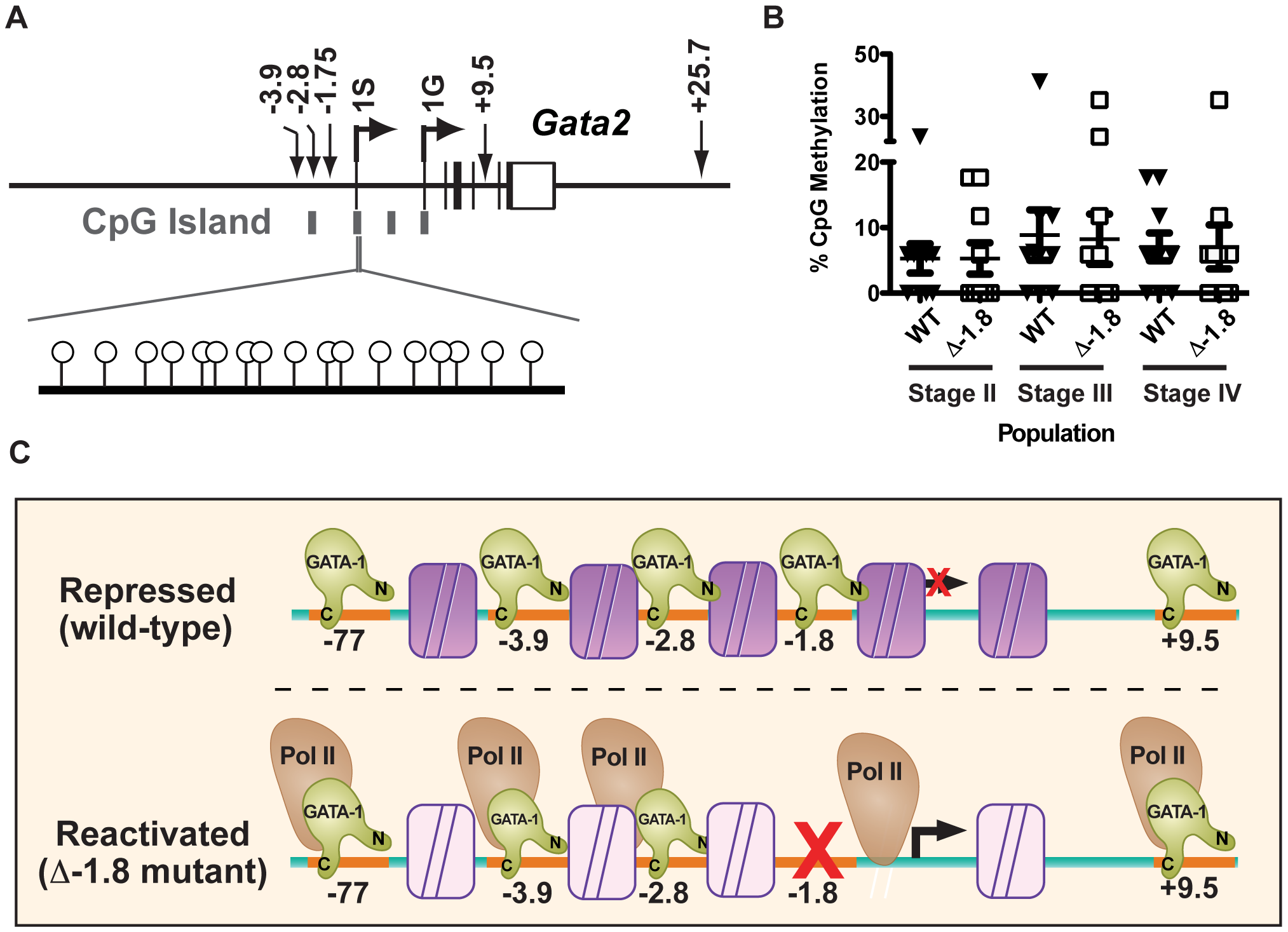 <i>Gata2</i> promoter methylation does not require the −1.8 kb site.