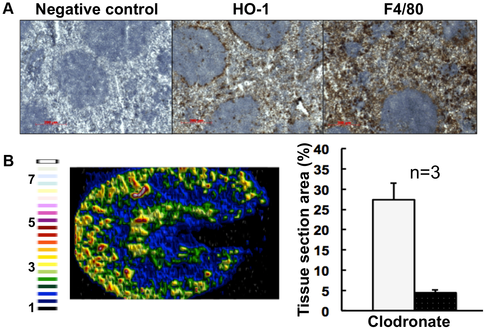 Selective chemical ablation of splenic red pulp macrophages recapitulates the renal iron accumulation phenotype in the absence of <i>Candida</i> infection.