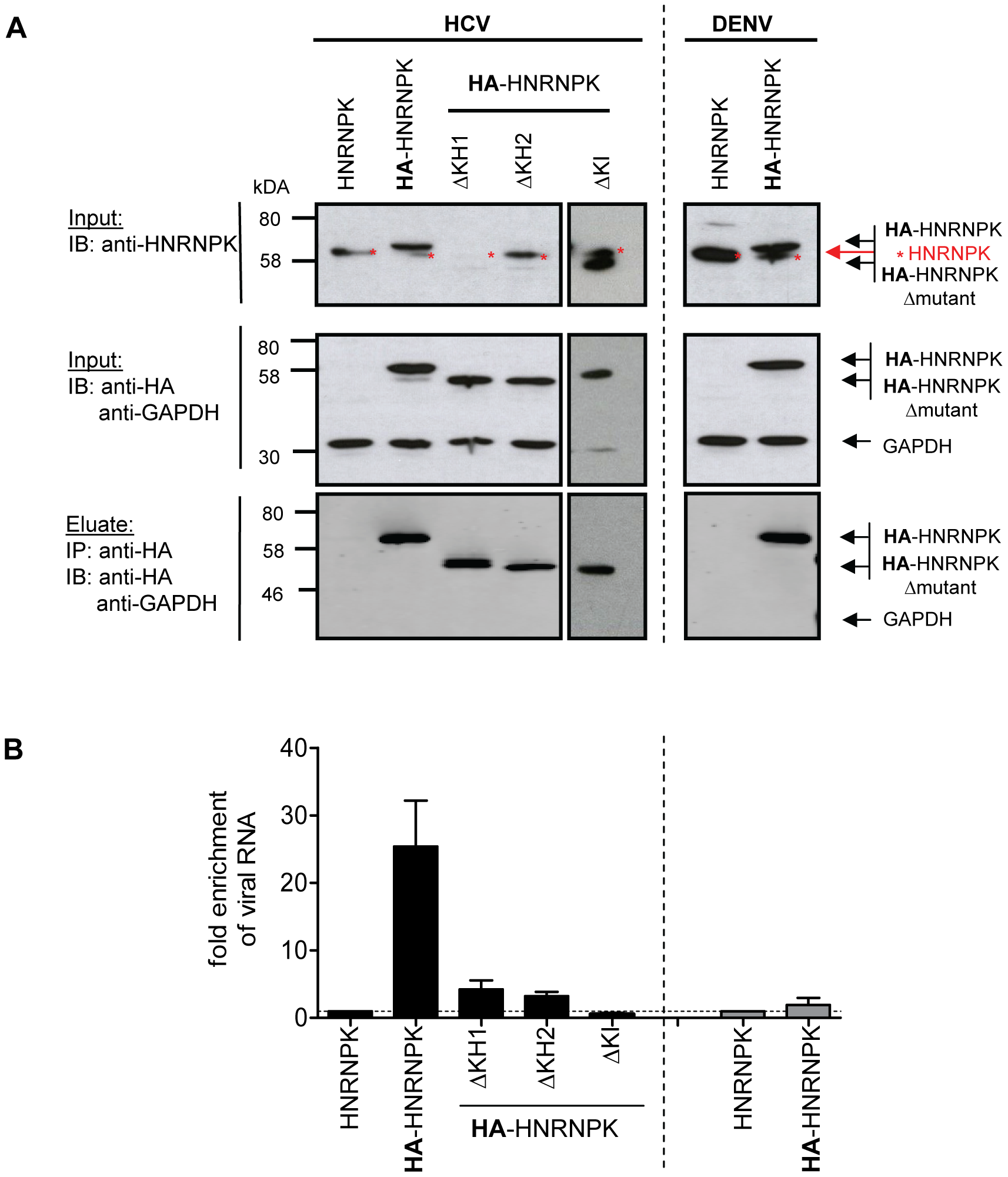 HNRNPK interacts with HCV but not DENV RNA genomes.