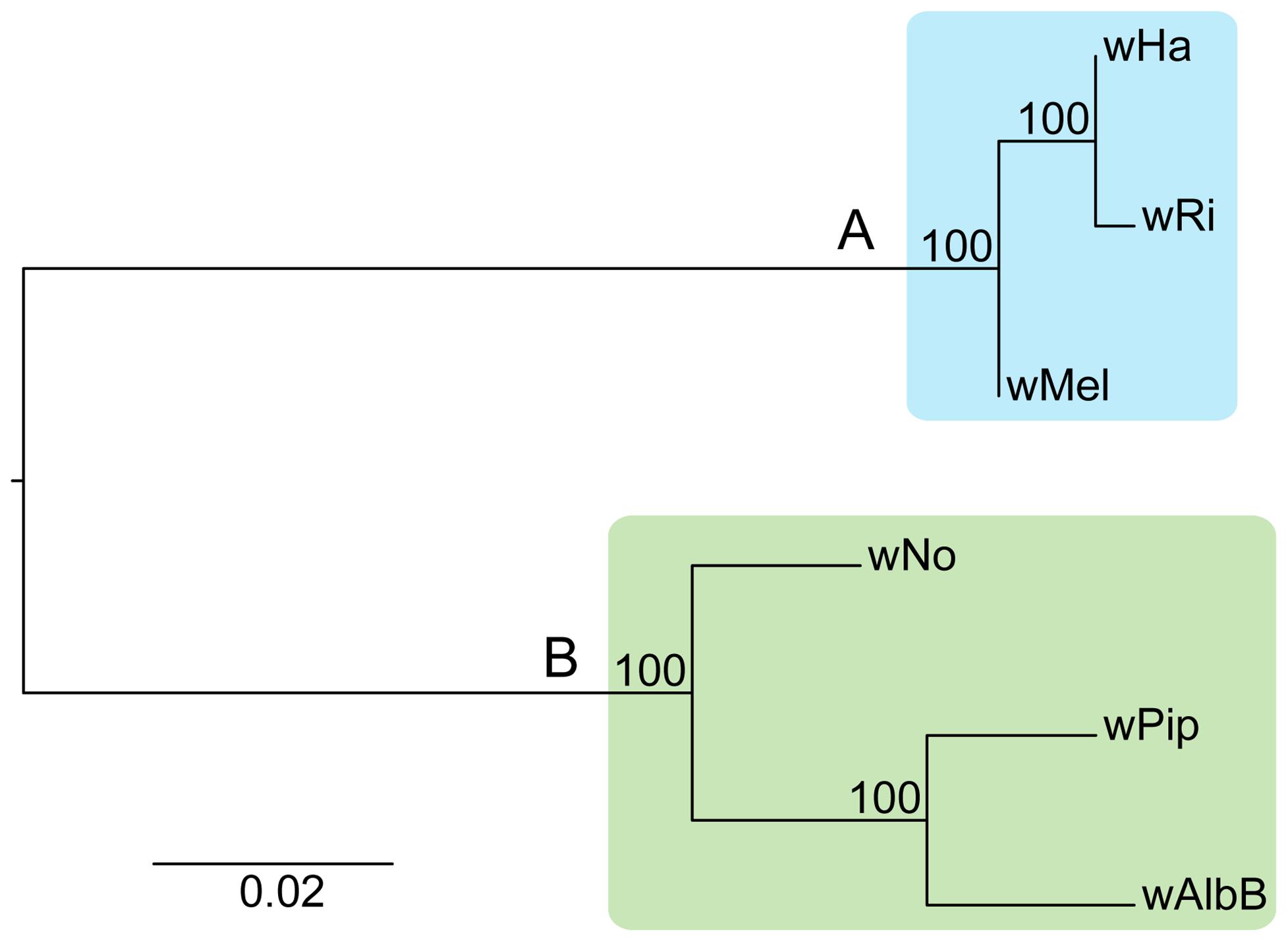 Phylogenetic relationships of six <i>Wolbachia</i> strains.