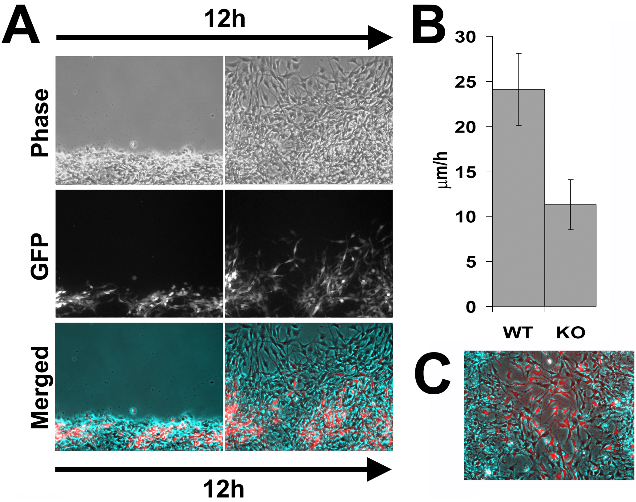 <i>Ate1</i> knockout cells co-cultured with wild-type move with speeds closer to the wild-type cells than when cultured individually.