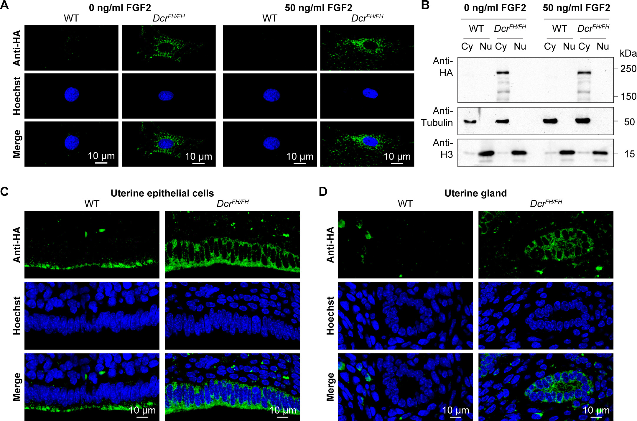 FGF signaling does not induce translocation of Dicer to the nucleus.