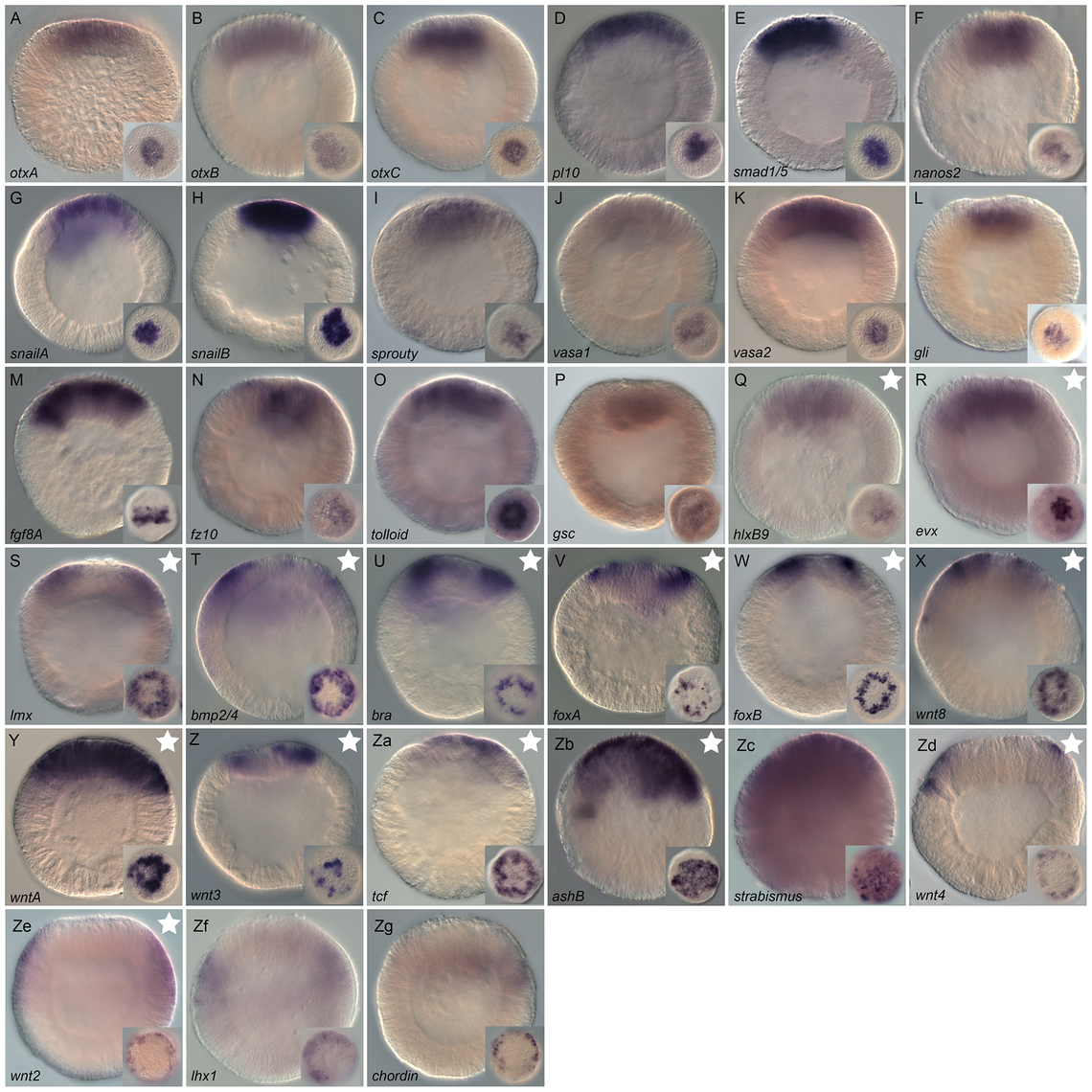 Gene expression re-analysis of previously published genes involved in endomesoderm development.
