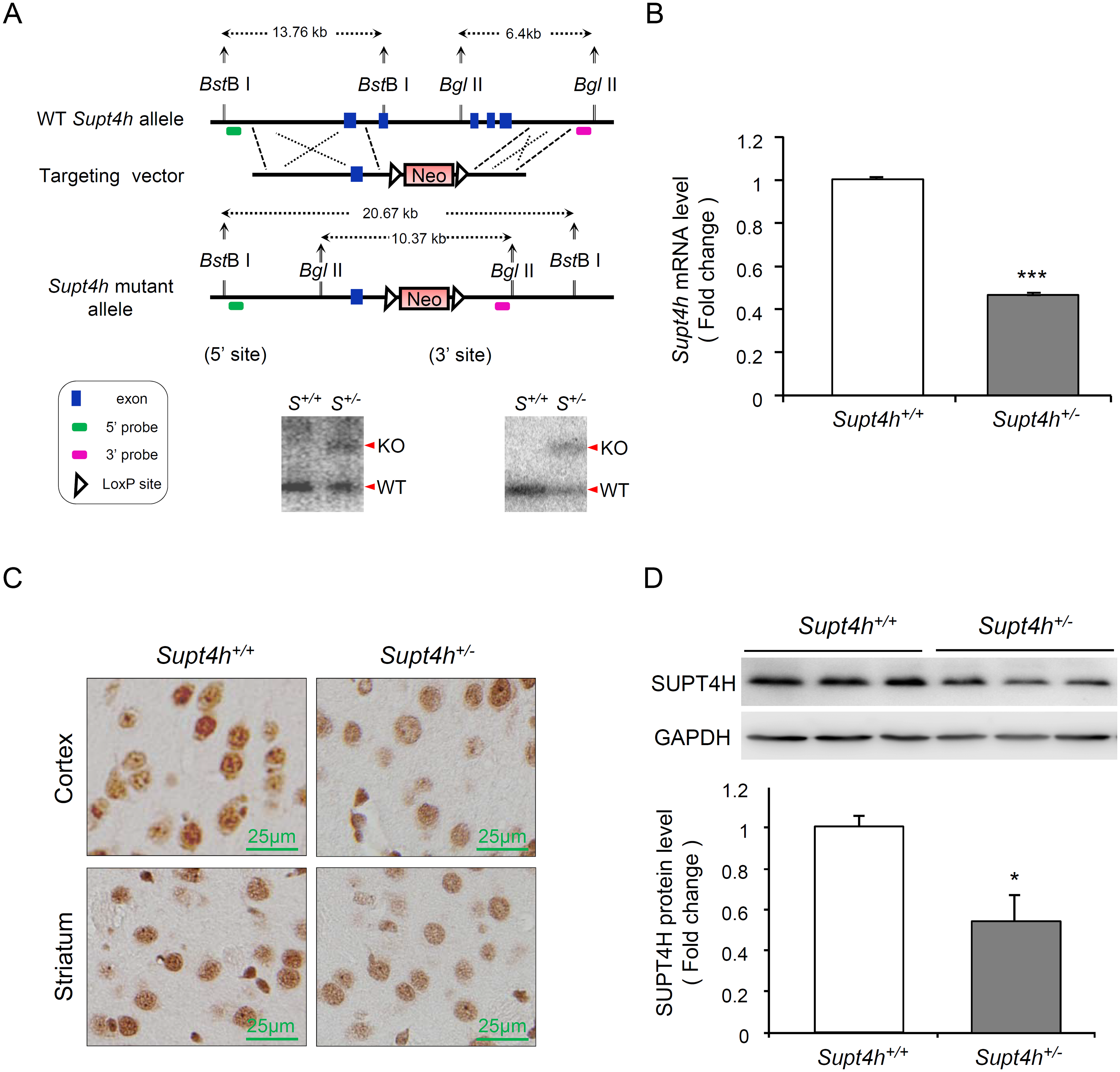 Creation and characterization of <i>Supt4h</i> knockout mice.