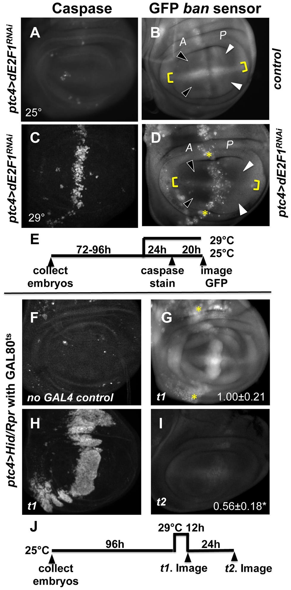 Changes in GFP <i>ban</i> sensor in discs with <i>ptc-GAL4</i>-driven cell death.