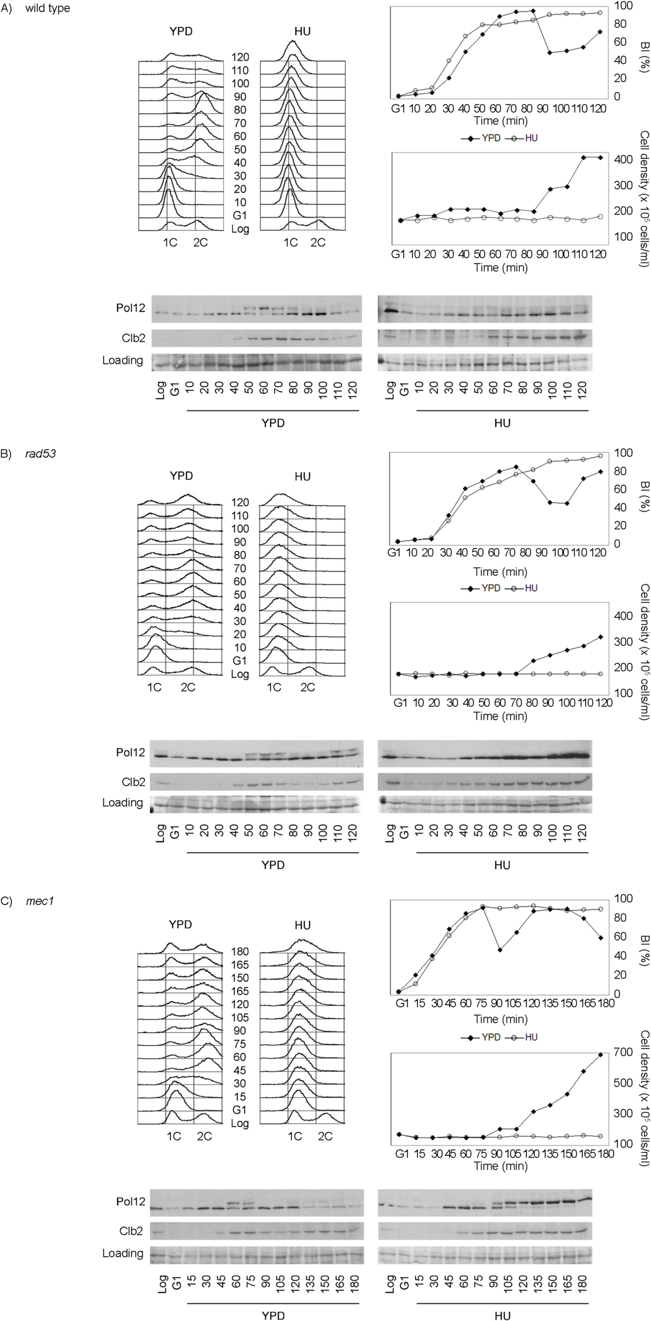 M-CDK activity is inhibited in response to replication stress in a Mec1 dependent manner.