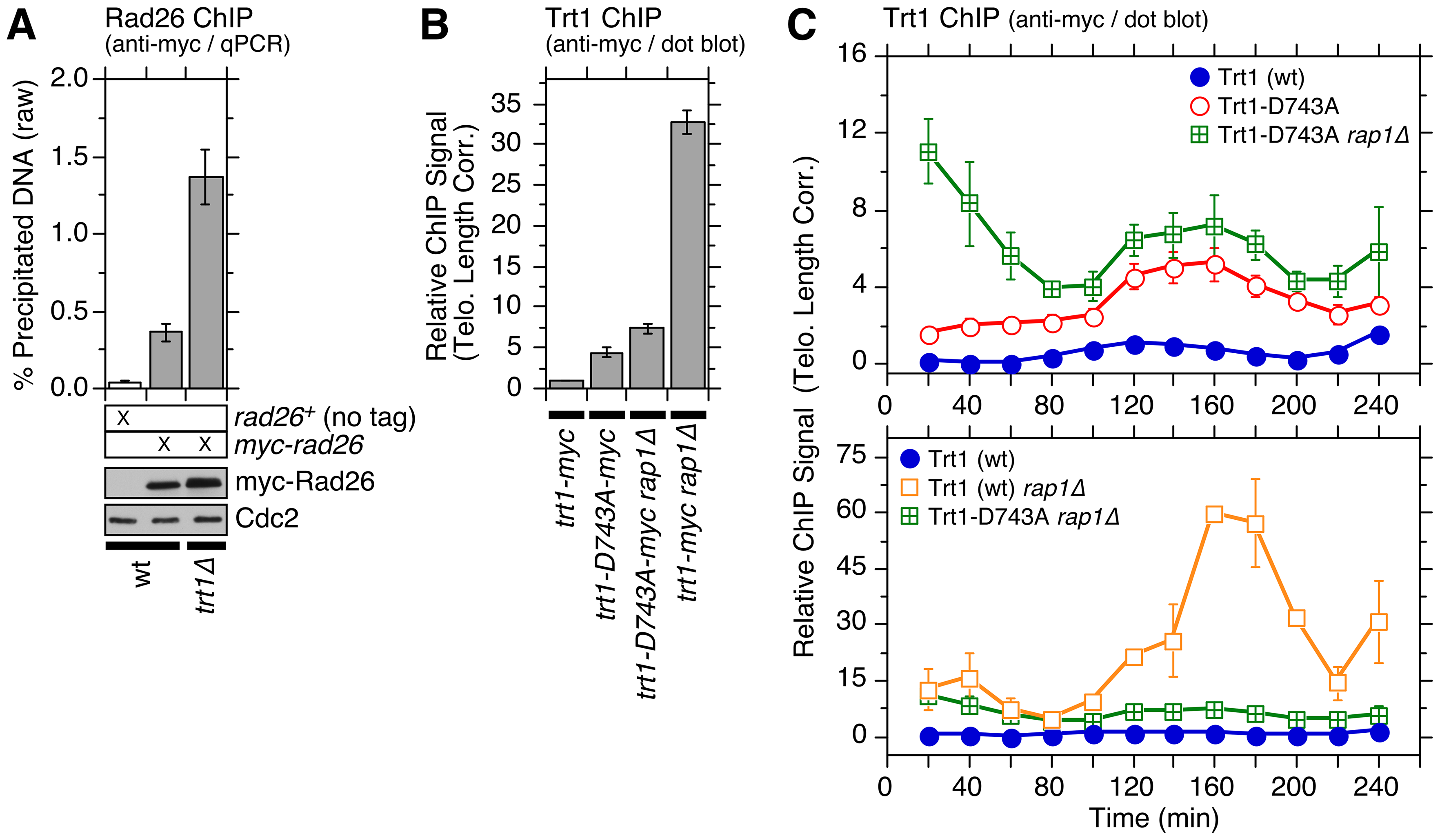 Characterization of telomere association for catalytically dead Trt1<sup>TERT</sup>.